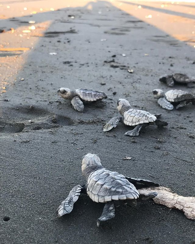 Any day now these little guys will start digging their way out of the sand and start making their way back towards the ocean. Only one out of 1 thousand baby turtles actually make it to adulthood. With so many predators at the ready, both on land and in the sea, it's a difficult journey from the get go. Some don't even make it to the water. Vultures or stray dogs are just waiting to pounce for a snack, and some babies are born simply to weak to make the walk. I remember the first time I witnessed this firsthand, we spent hours helping hundreds of baby turtles to the water, protecting them from the land predators, helping them back in the water when waves would keep pushing them back out. Feeling the sense of despair when we we couldn't save them all, we realized that we were witnessing a true display of survival of the fittest. And that we sometimes must surrender to the forces of nature, even if at times it can seem so cruel #turtles #nature #costarica