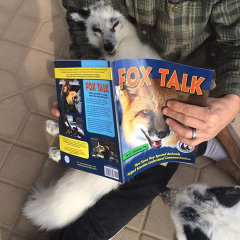 Foxes during the story time reading of Fox Talk! Foxes pictured are not owned by the JABCECC.