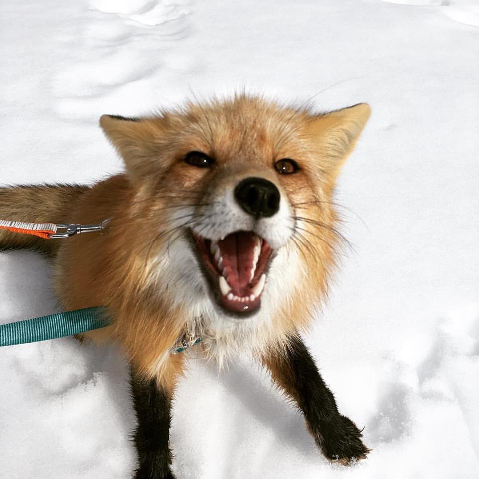 Viktor, Russian domesticated fox courtesy of ADB