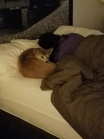 Luci sleeping in a bed with a human for the first time. She is LOVE!
