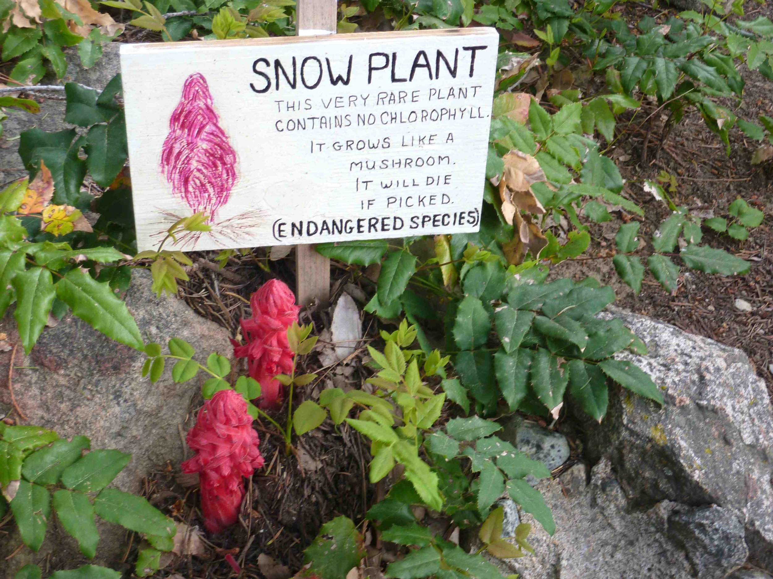 snow_plant.jpg