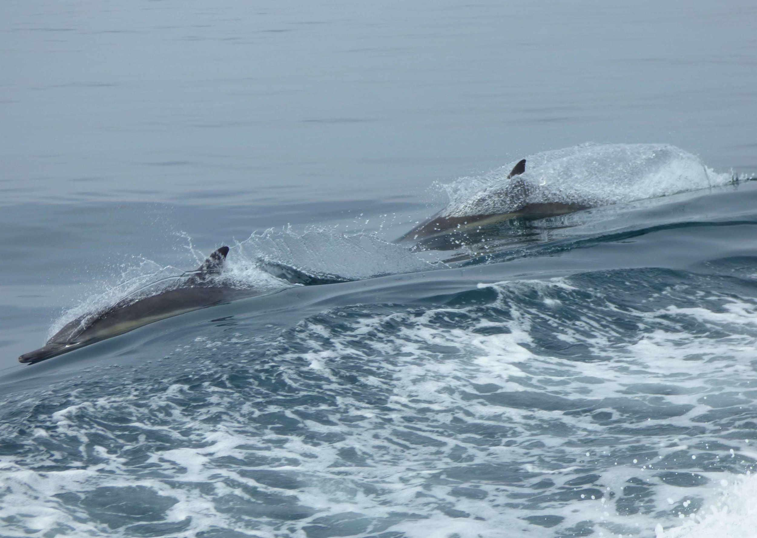 Venettämme seurasi mennen tullen kymmenien delfiinien parvi. Ne tykkäsivät hyppiä veneestä syntyvien aaltojen yli joten kapteenimme äityi vähän mutkittelemaan. Valaista sen sijaan en saanut tällä kertaa kuvaa.
