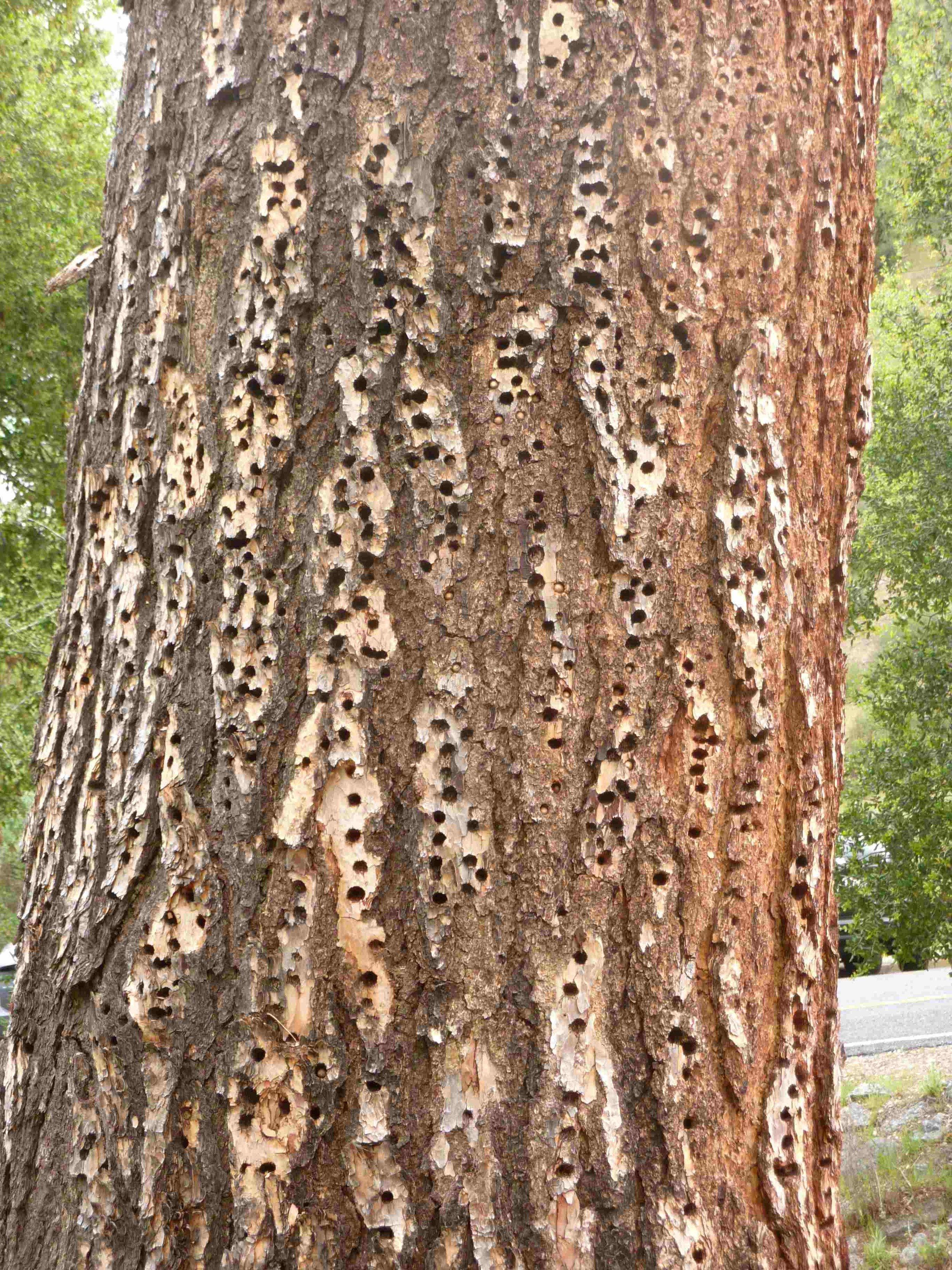 Itäisellä sisäänkäynnillä on useampi tällainen tikkojen rei'ittämä puu