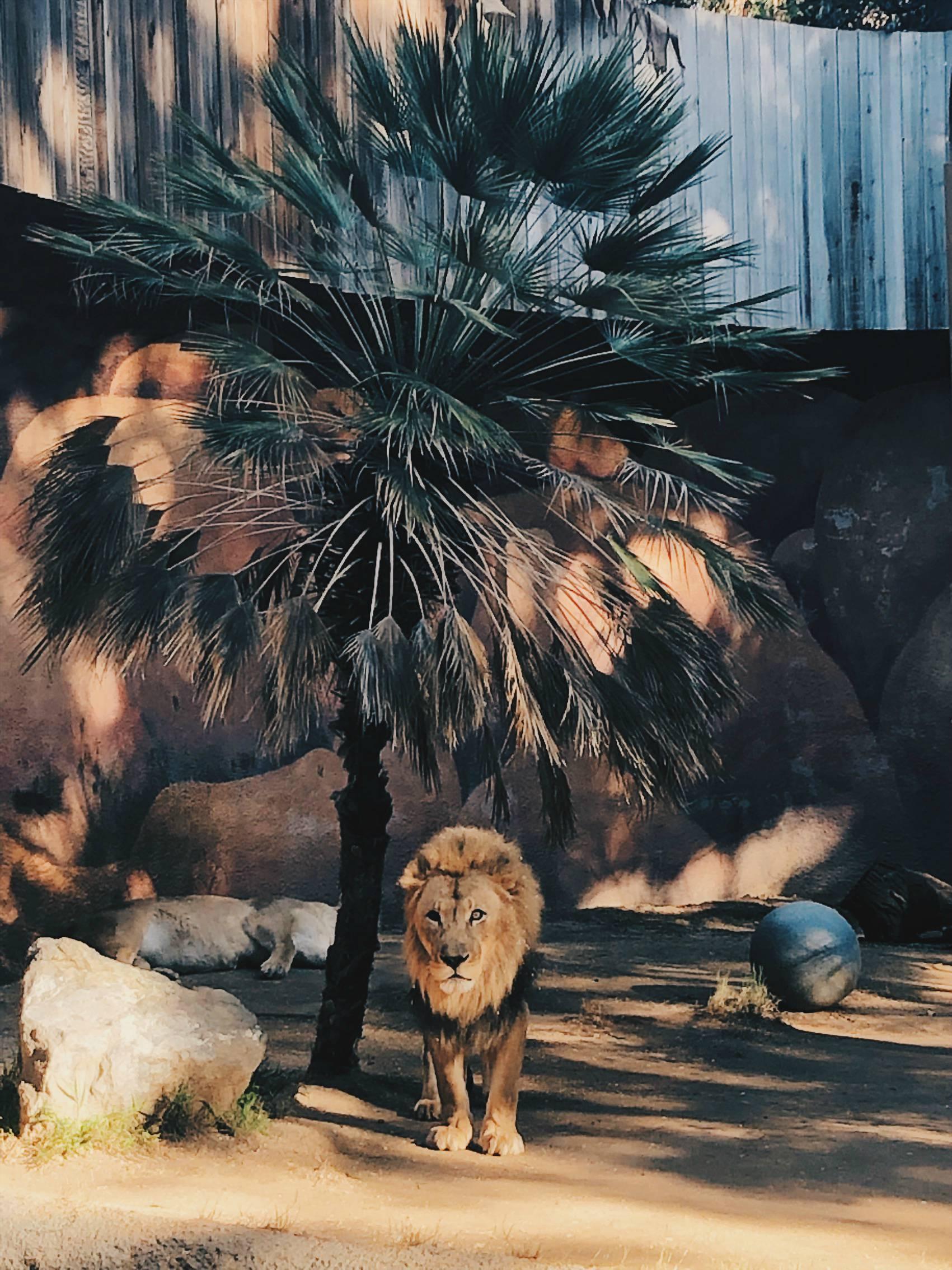 Leijona herra heräsi juuri kun tulimme paikalle ja hetken tuijotimme toisiamme silmästä silmään.