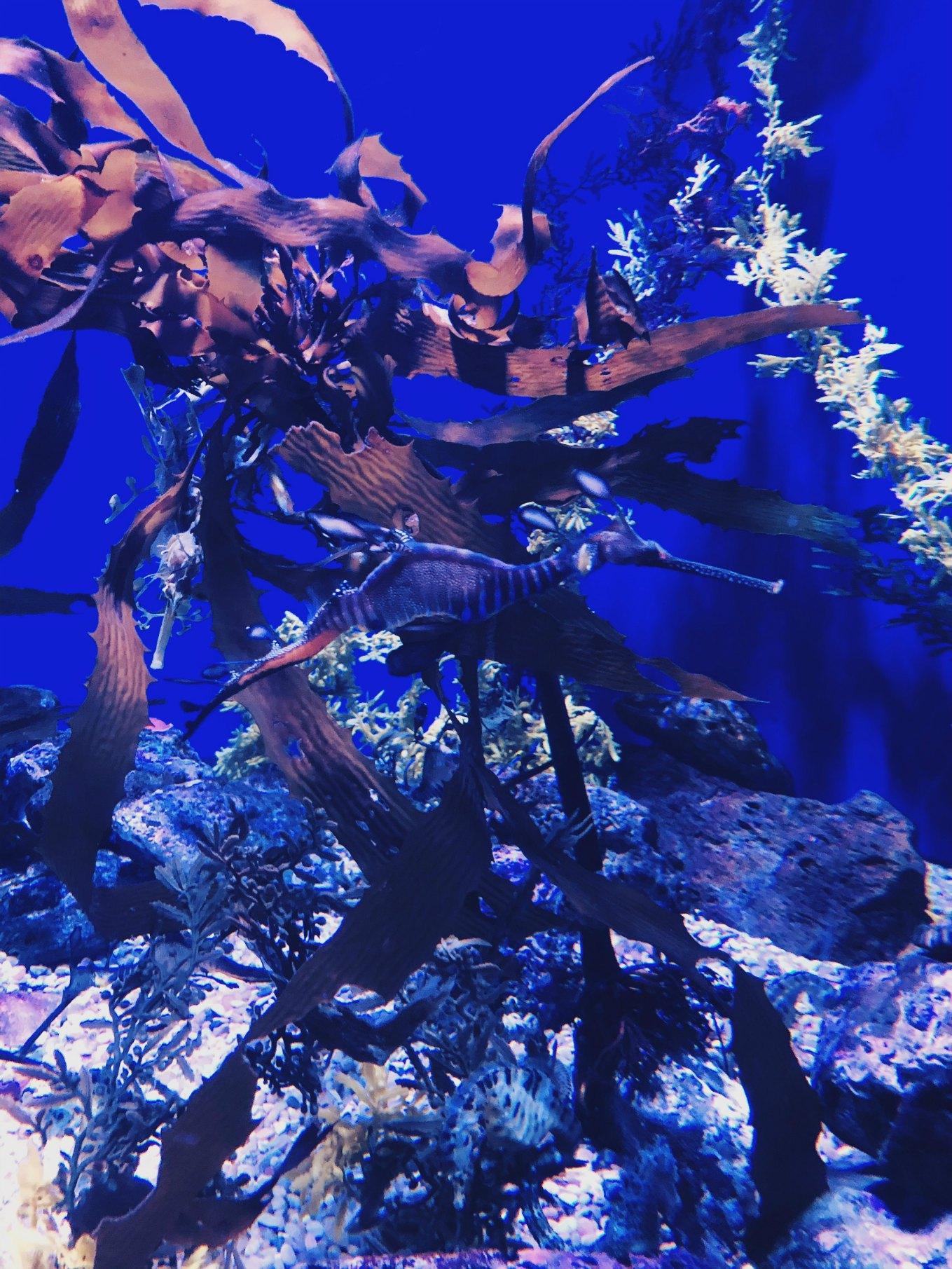 merihevonen_akvaario.jpg