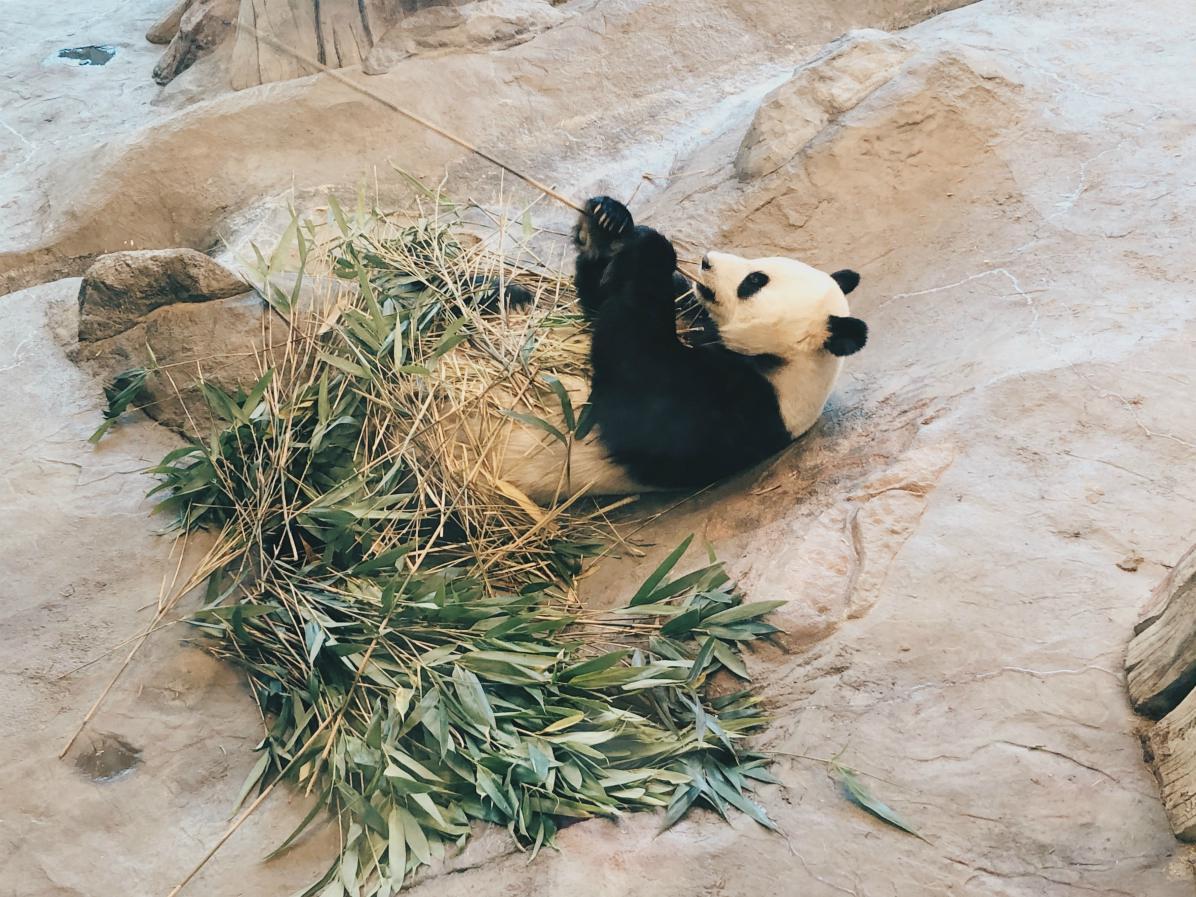 Mitä ne Ähtärin pandat oikein syövät? Todistetusti siis bambu näytti maistuvan.