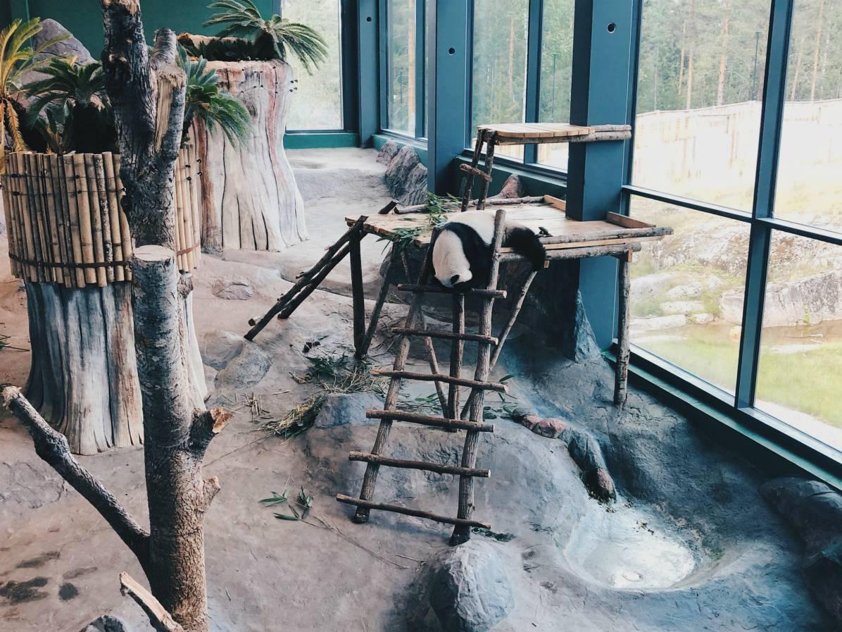 Toinen pandoista oli ilmeisesti väsähtänyt kesken leikin kun se nukkui hassussa asennossa pää roikkuen.
