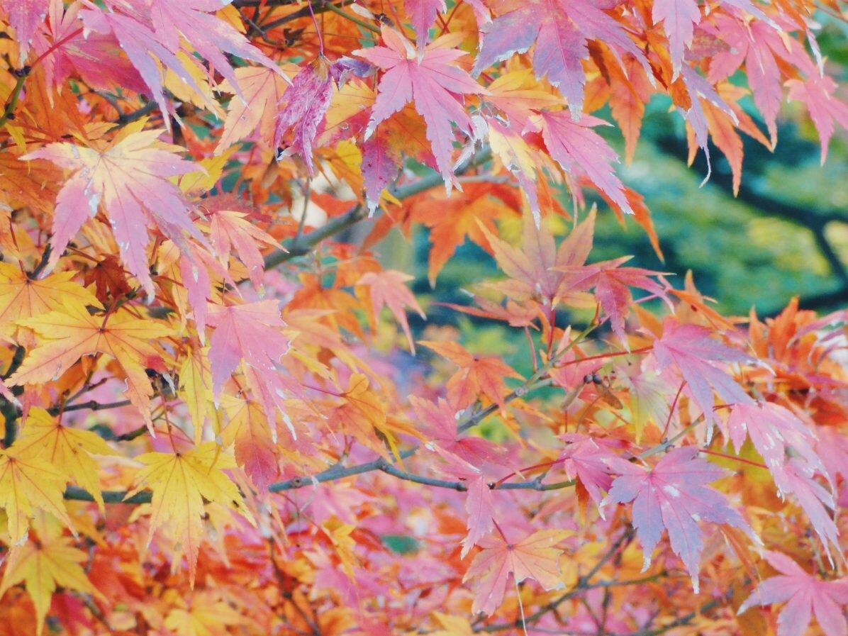 japan_leaves.jpg