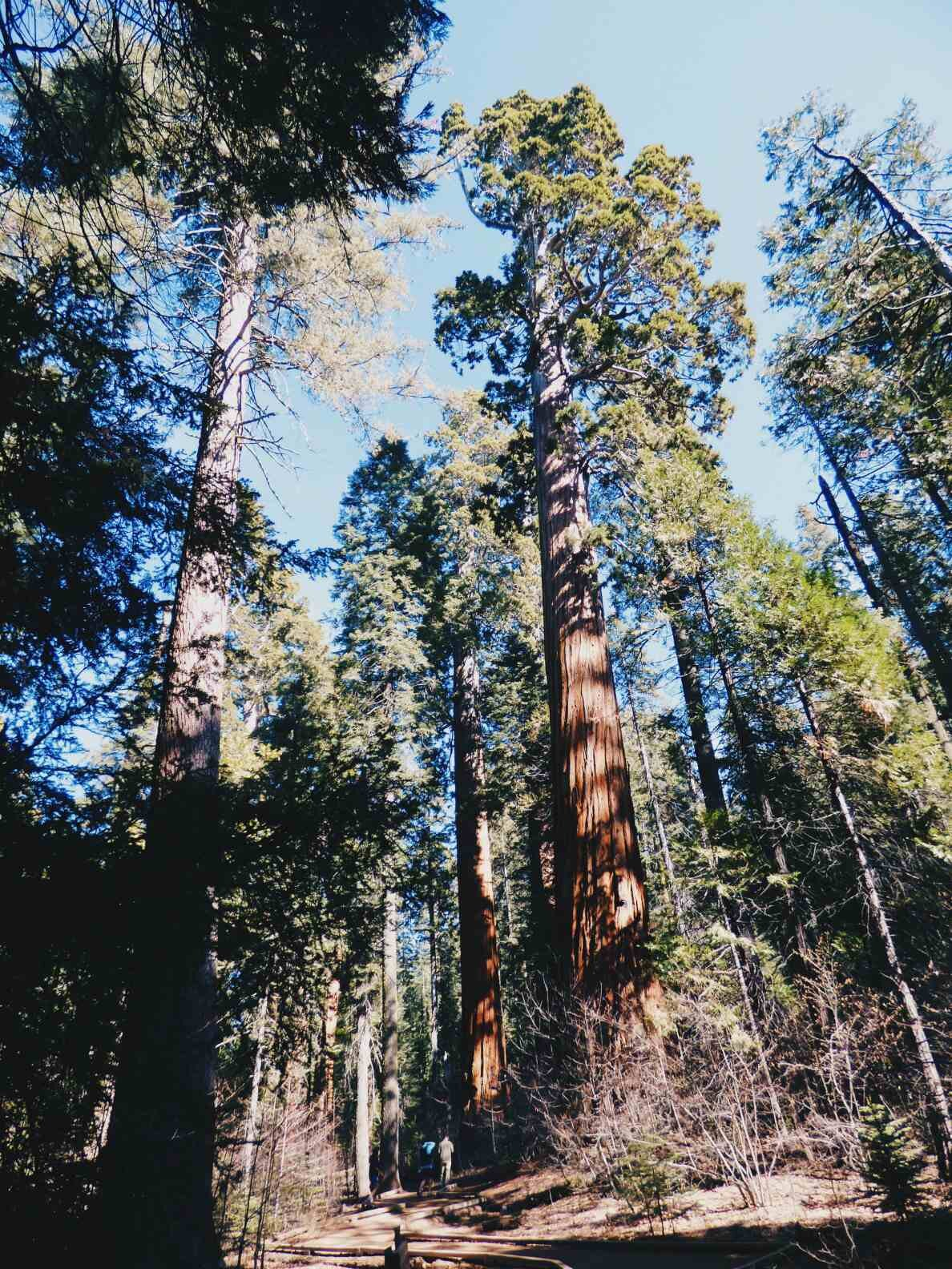 giant_sequoia_people.jpg