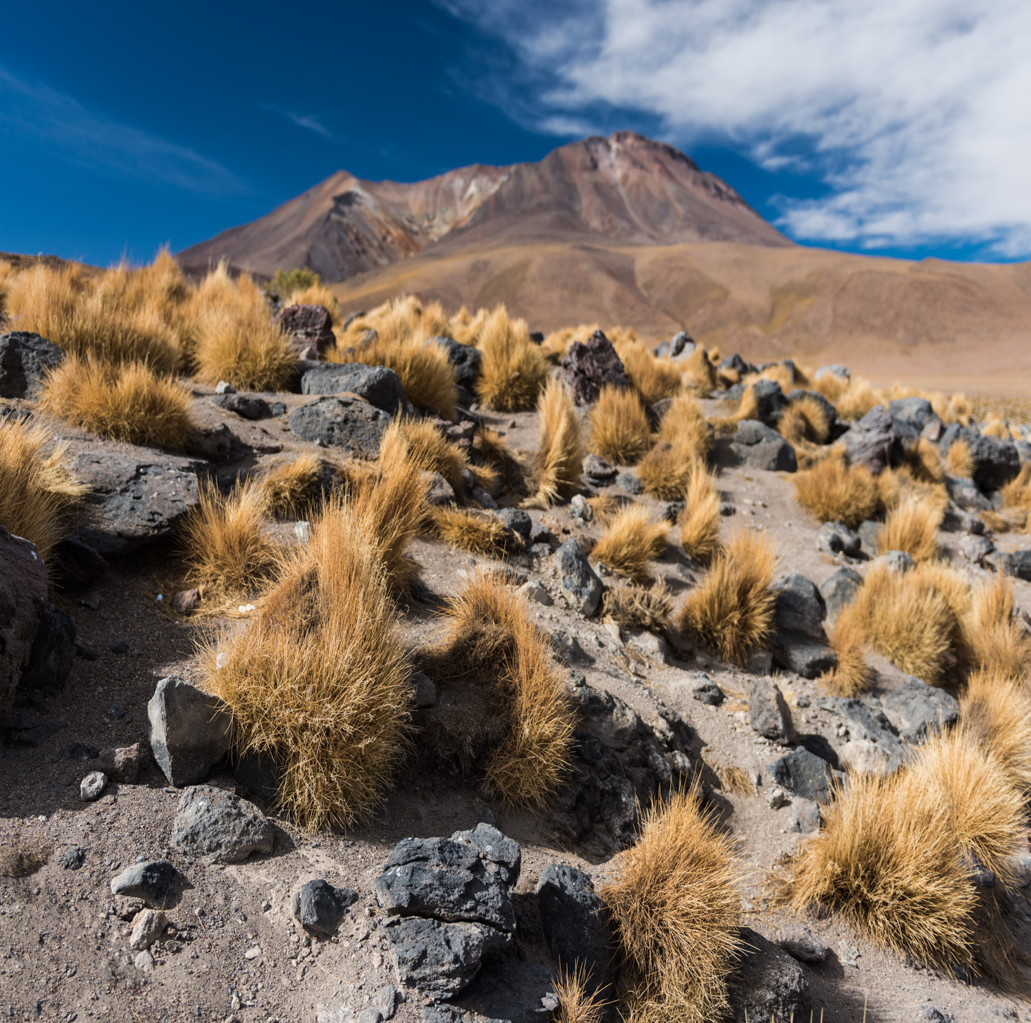 Bunch grass on the altiplano.
