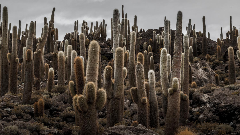 Cactus Forest on Isla Incahuasi