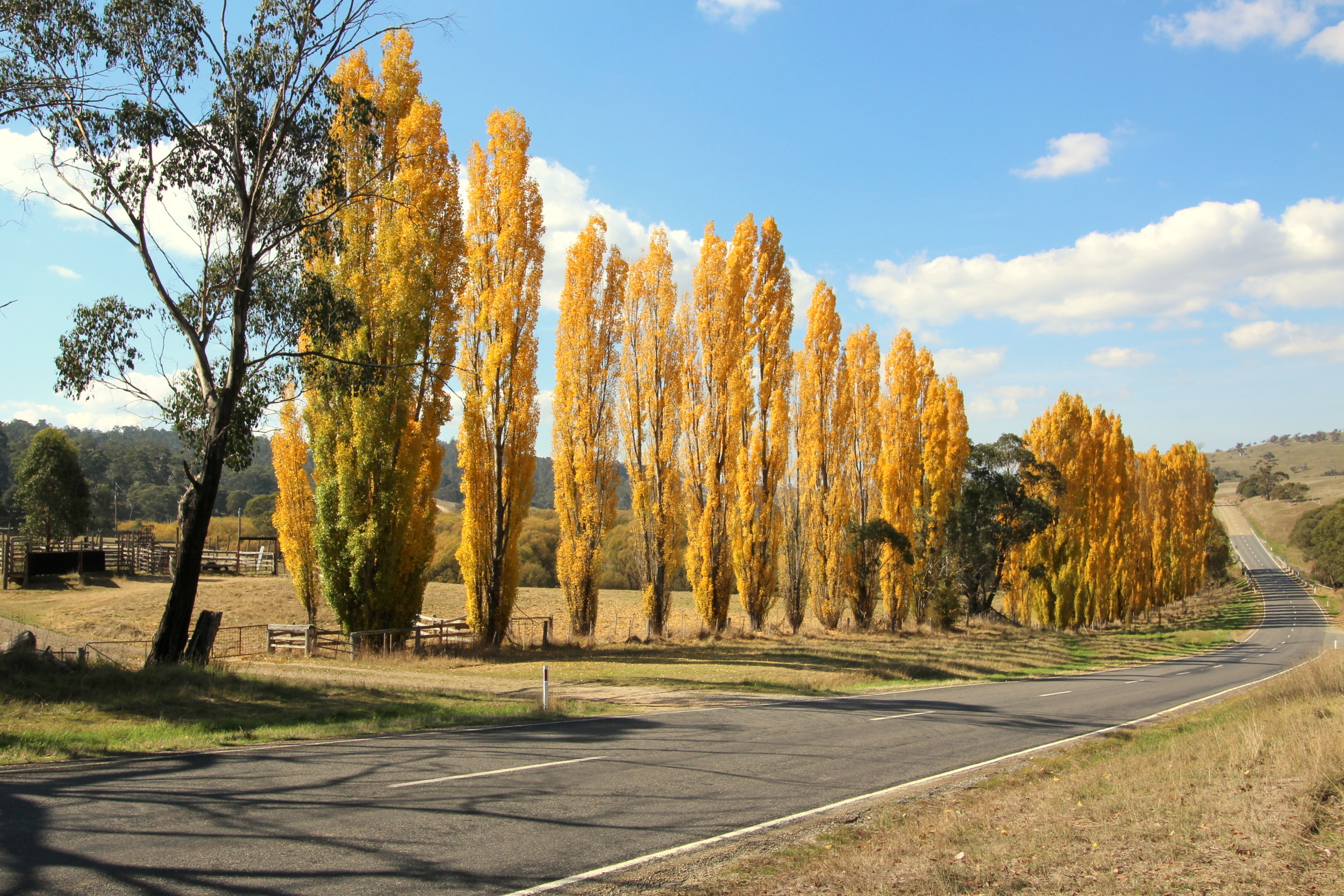 Poplars on the Great Alpine Road near Omeo