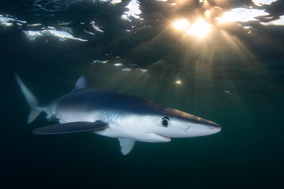 blue shark - joe romeiro.jpg