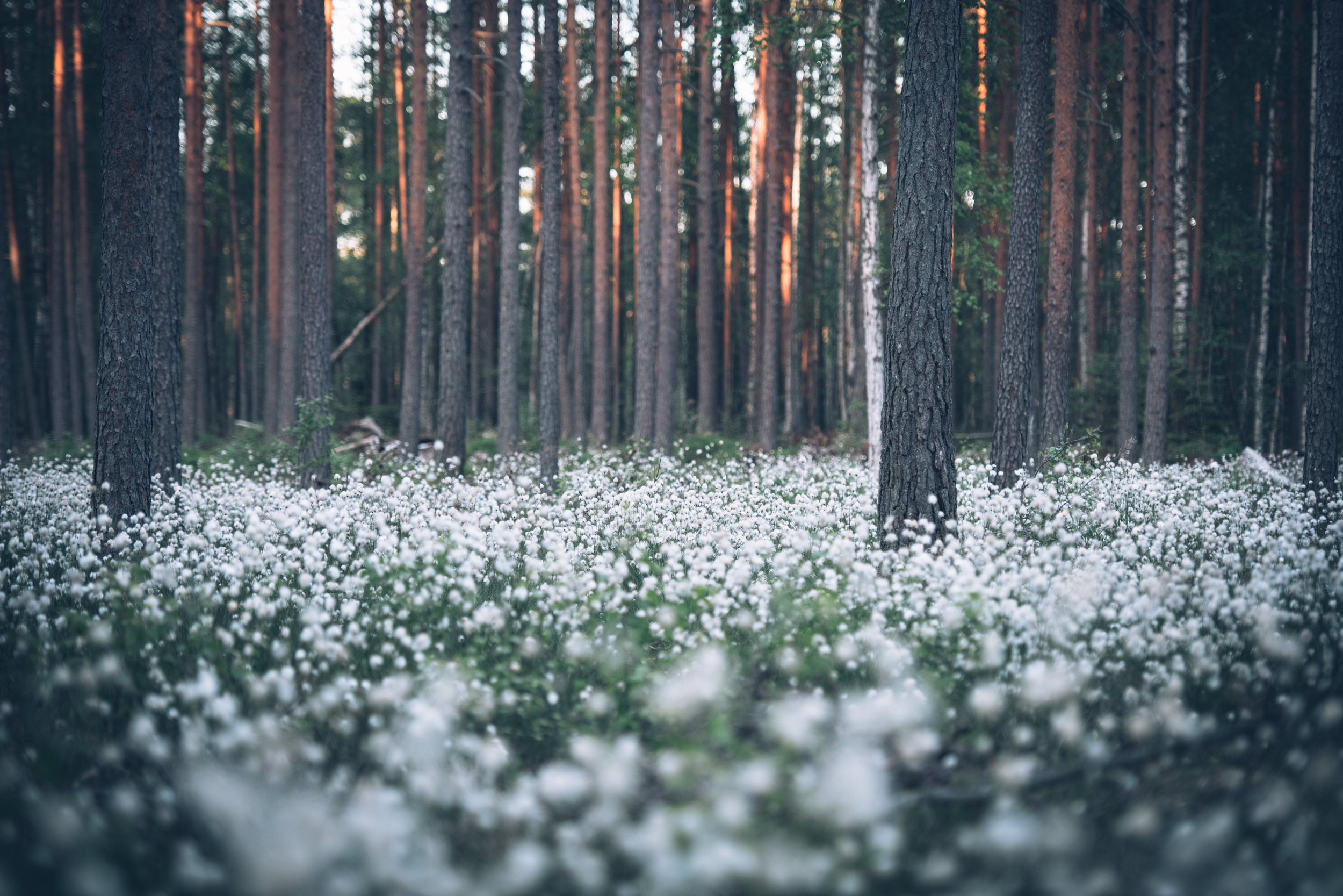 Cotton grass (1 of 1)-2.jpg