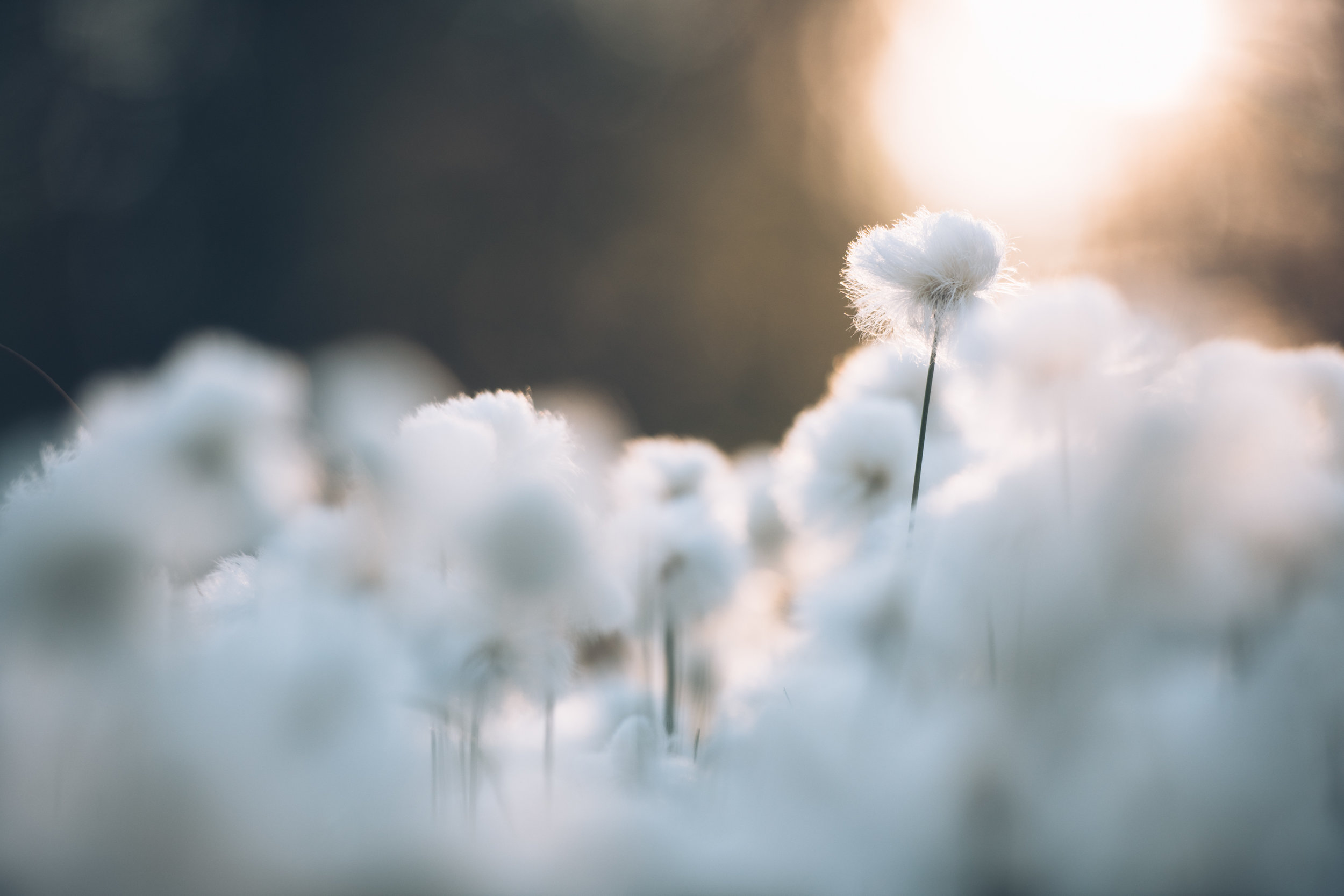 Cotton grass (1 of 1).jpg