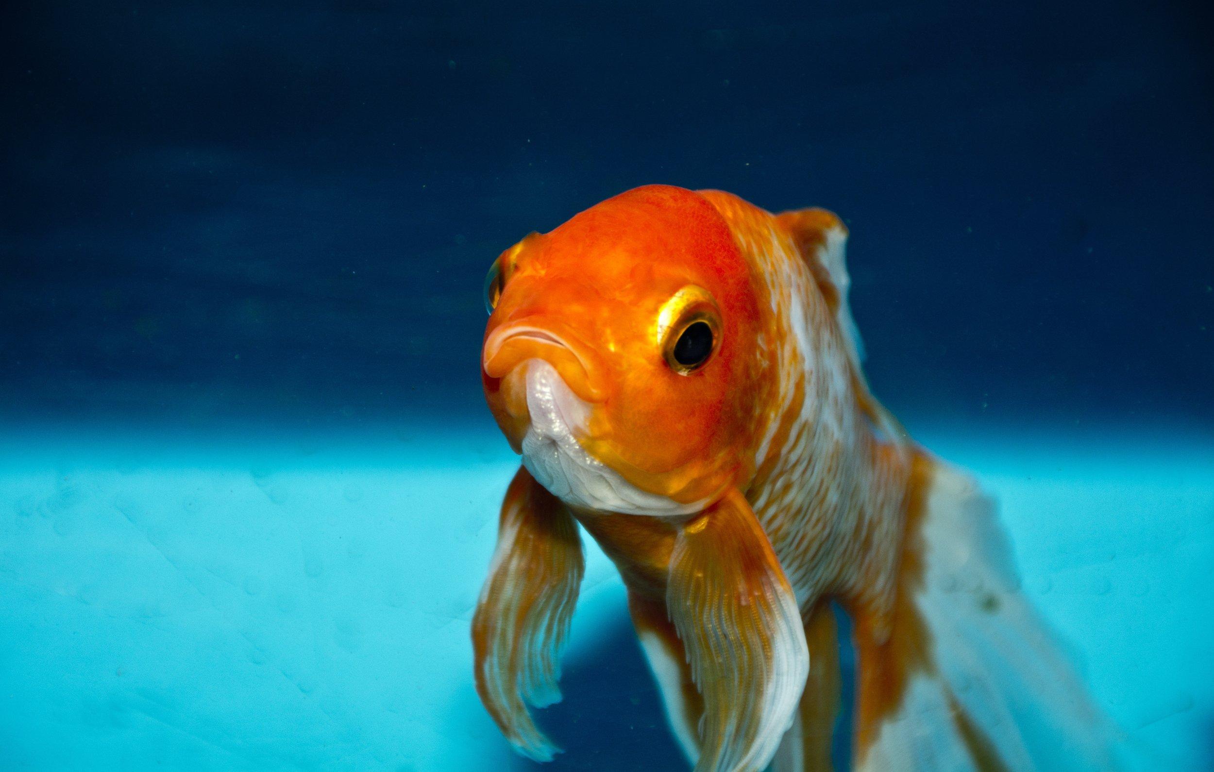 goldfish_ocean.jpg