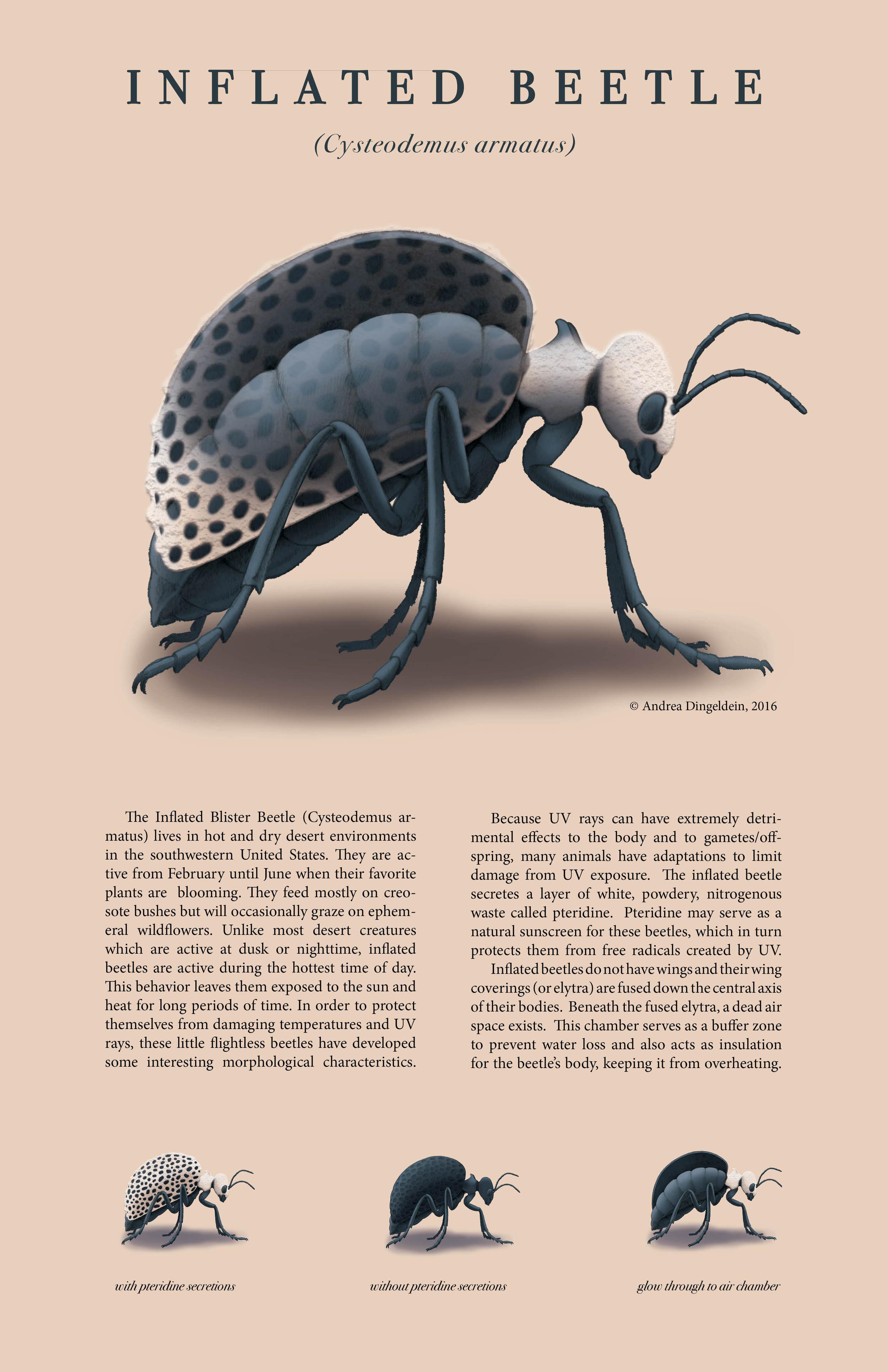 Inflated Beetle