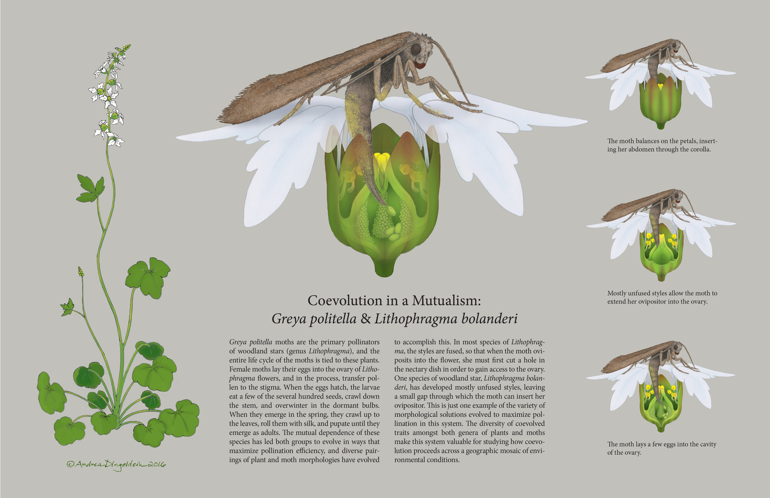 Coevolution in a Mutualism