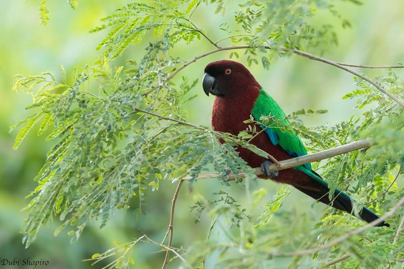 maroon_shining-parrot_3.jpg