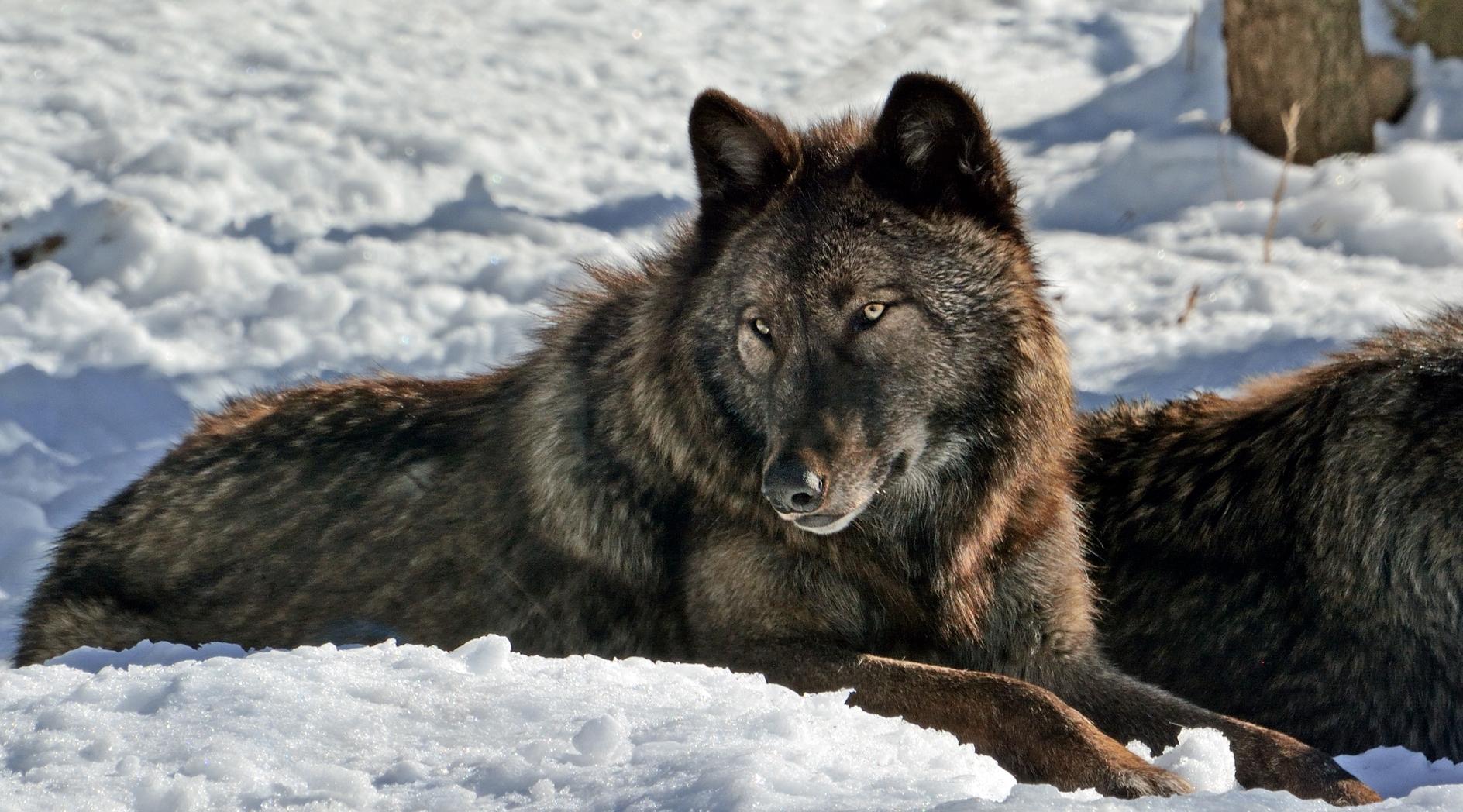 Spinus-gray-wolf-2015-01-n027446-w.jpg