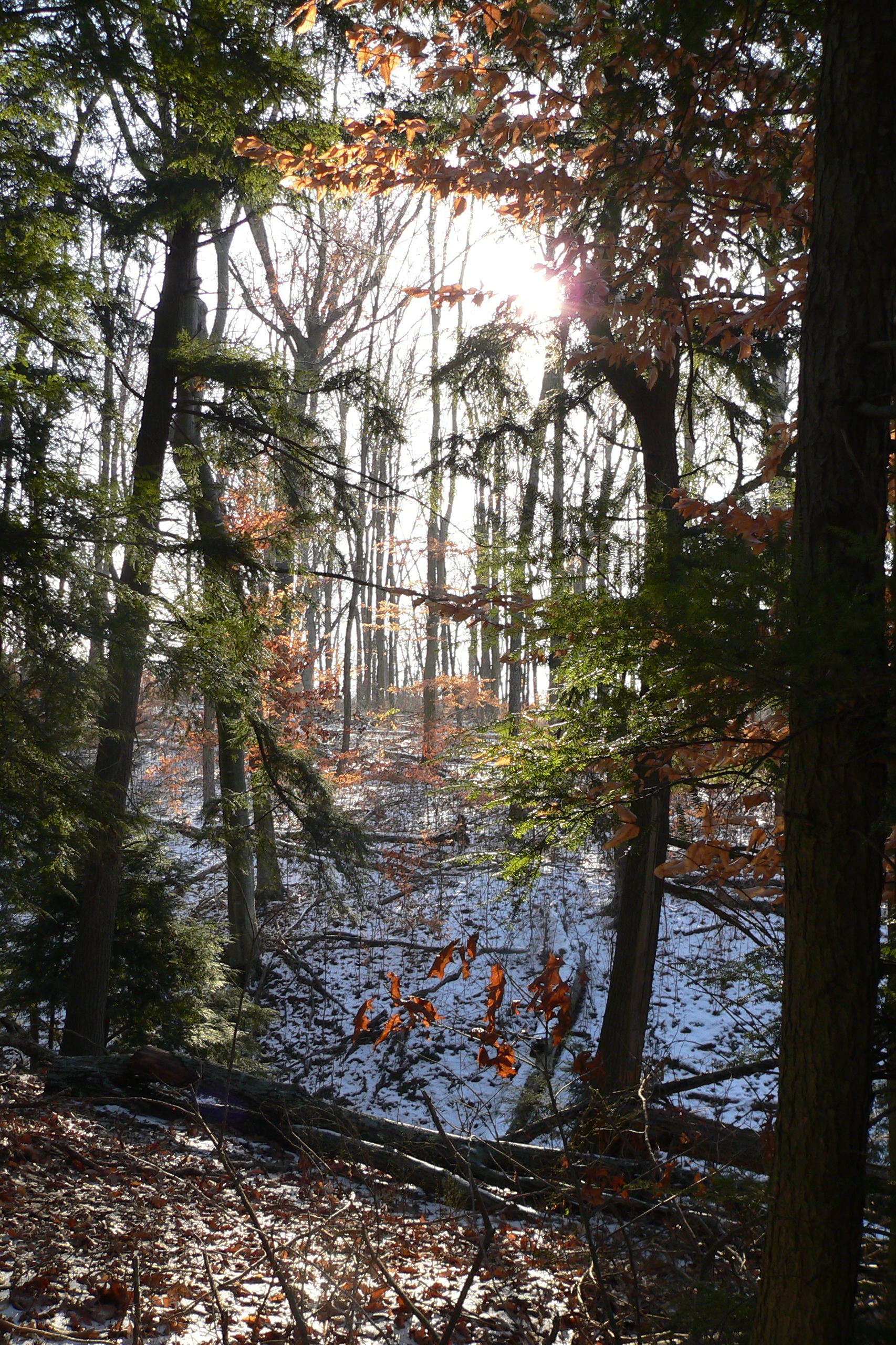 beech+leaves+with+hemlocks+and+winter+sun+at+Back+Creek+photo+credit+John+Lawrence.jpg