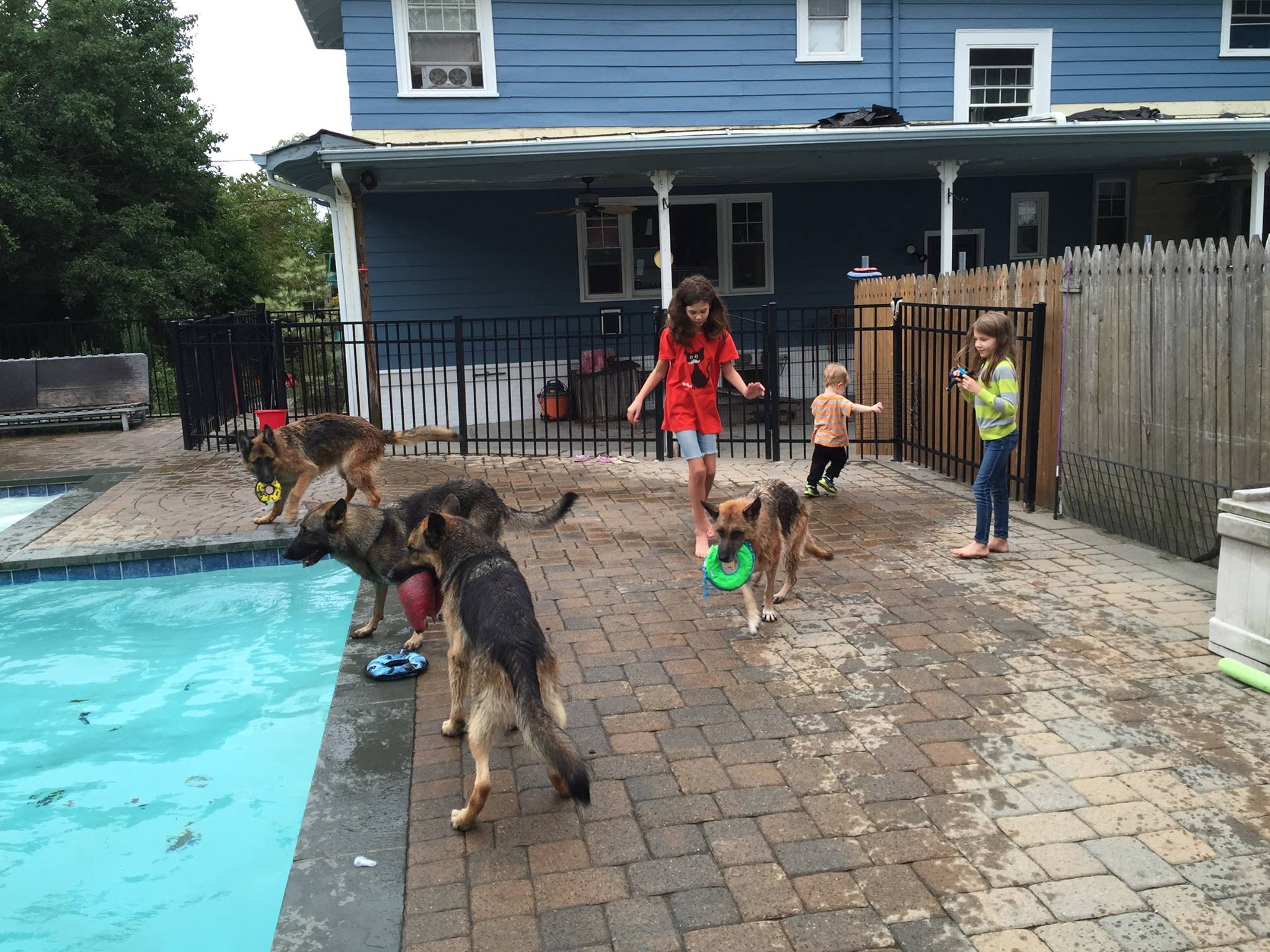 child playing with german shepherds at pool