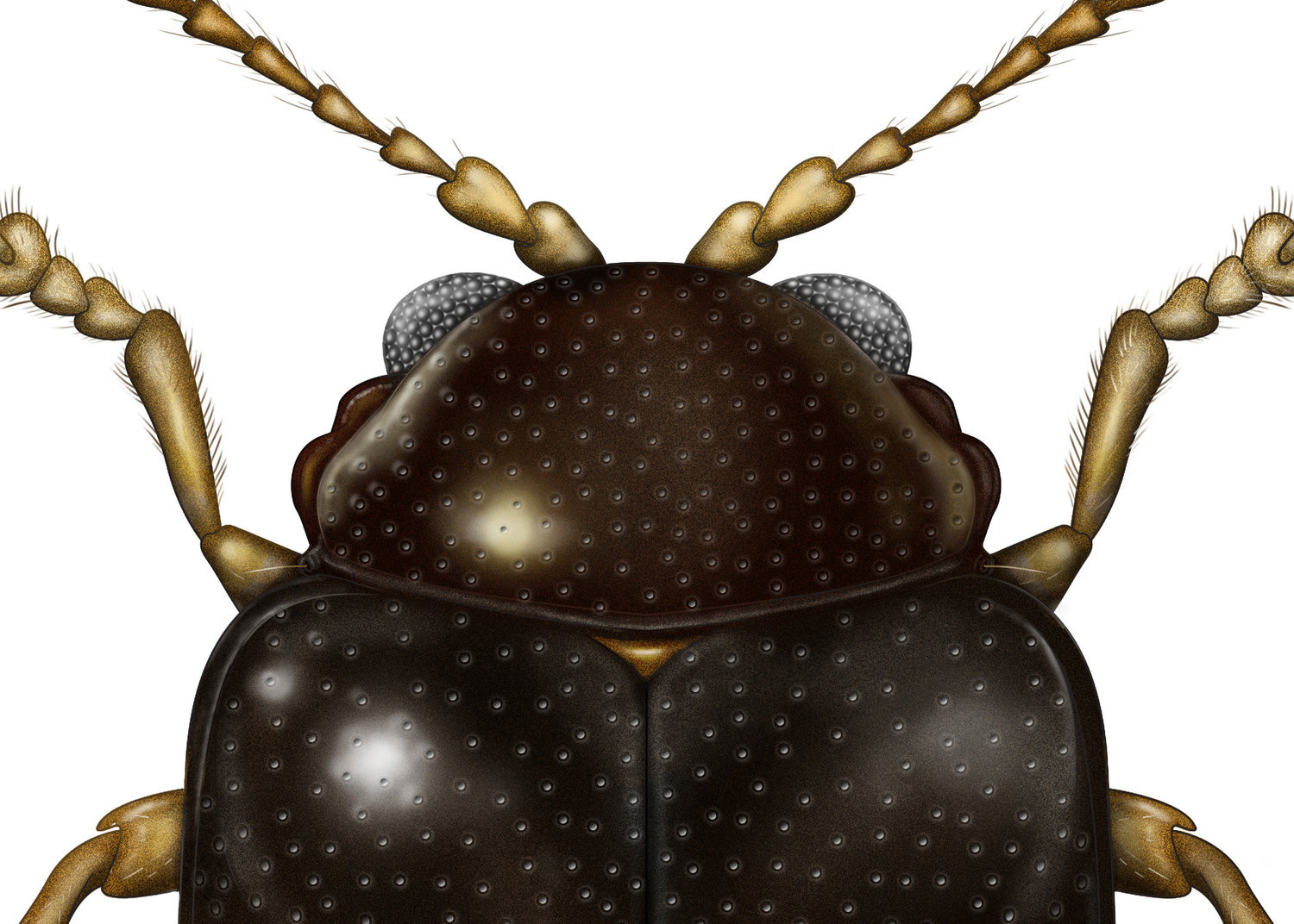 Flea+Beetle+Specimen+Illustration+by+Jillian+Ditner.jpg