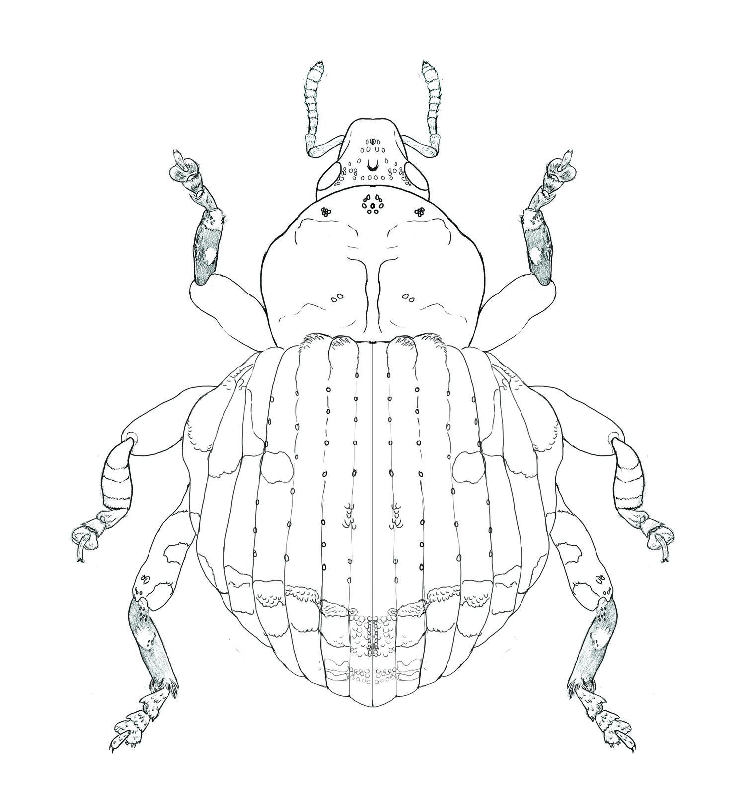 Gerstaekeria Weevil