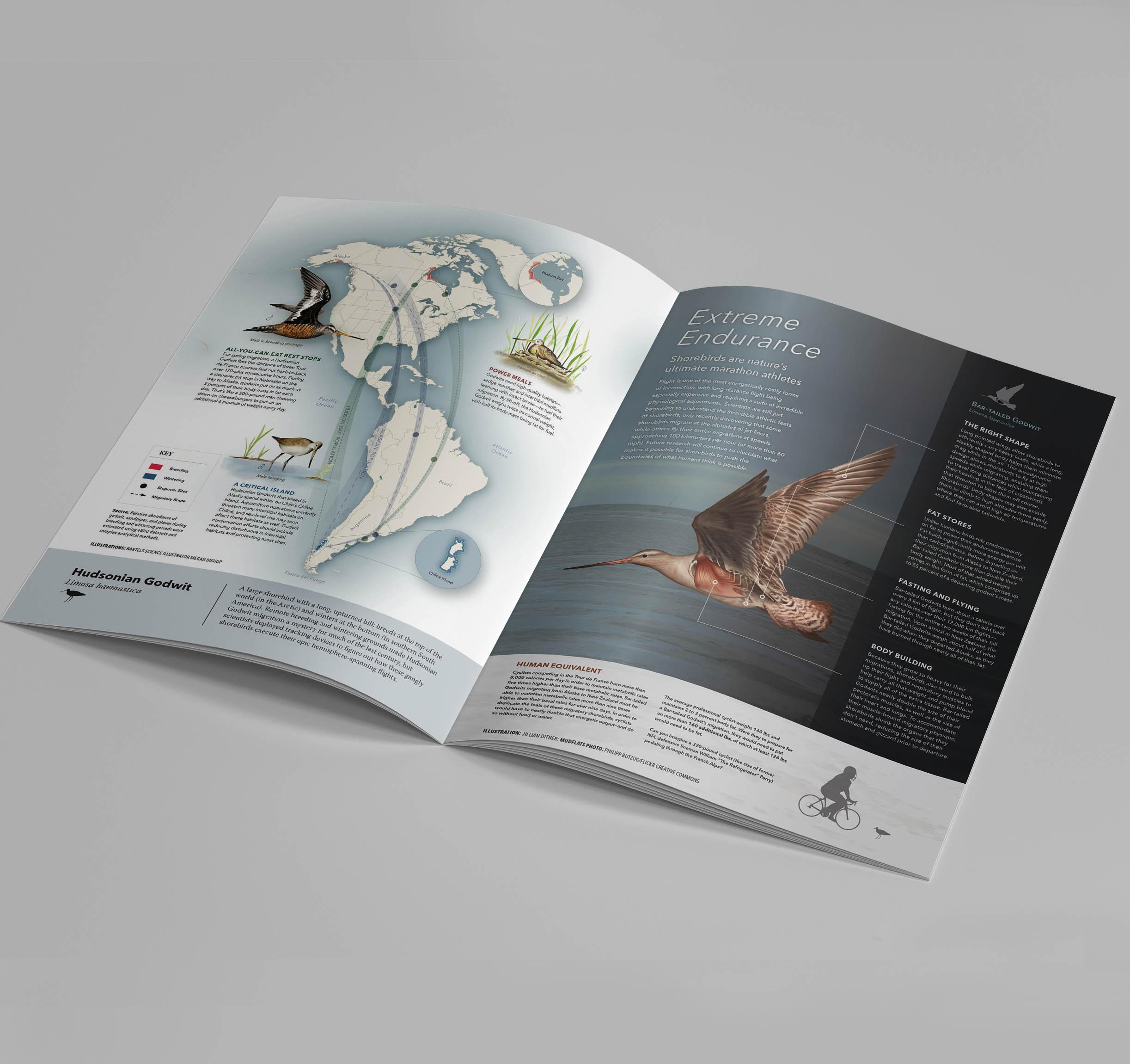Shorebirds Foldout Feature