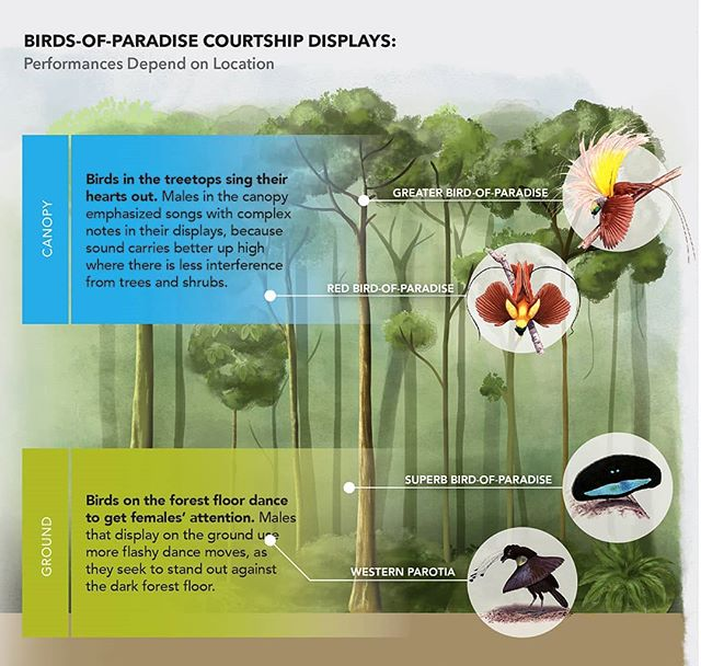 Created this graphic for a press release of a great new paper on the mating displays of Birds-of-paradise released through the #cornelllabofornithology which shows how different species either dance or sing more prominently depending on the height they prefer in the forest canopy.  Birds-of-paradise illustrations by Szabolcs Kókay; background illustration and graphic design by Jillian Ditner  #birdsofparadise #birds #ornithology #sciart #scicomm #scienceillustration #illustration #forest #conservation #wildlife #wildlifeconservation #matingdisplay #courtshipritual #science #art #illustration #graphicdesign #infographic #digitalart