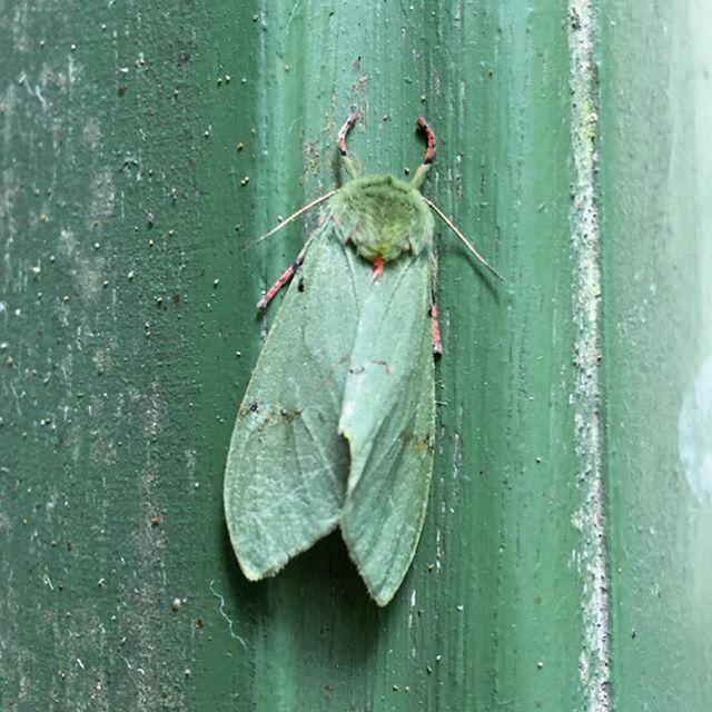 Looking at photos from trip to Ecuador on a rainy Ithaca morning. Didn't go for the moths, but there are so many beautiful species... will post some bird photos soon! #ecuador #ecuadorwildlife #birdingecuador #moths #entomology