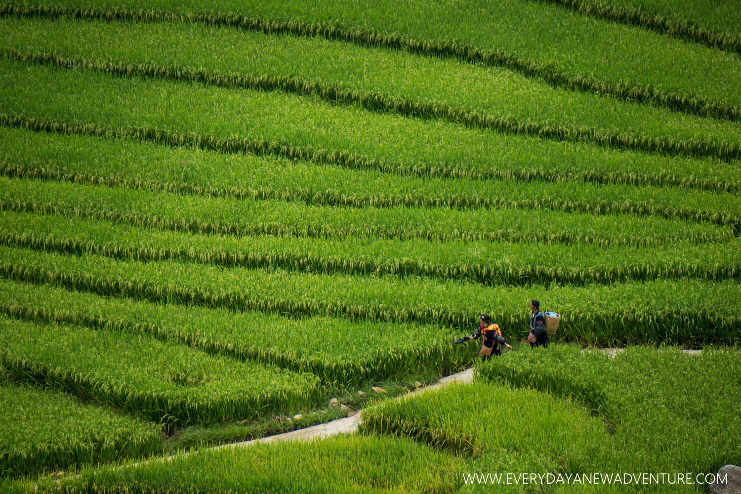 Rice paddies of Sapa