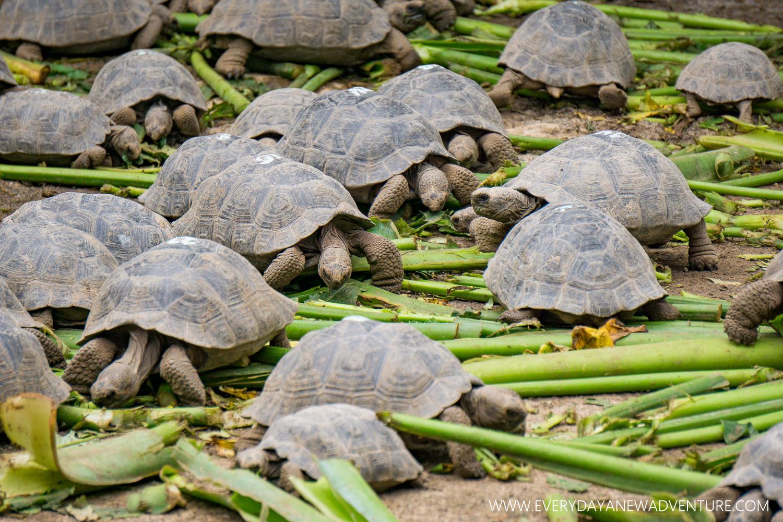 Baby giant tortoises enjoying their lunch.