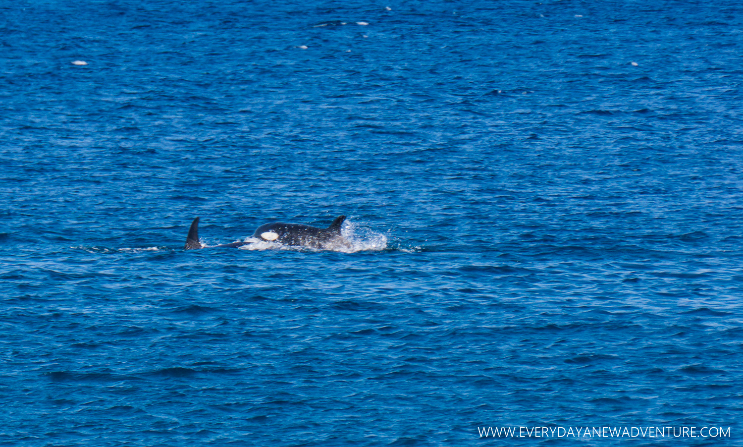 Orcas off the coast of Isabela.