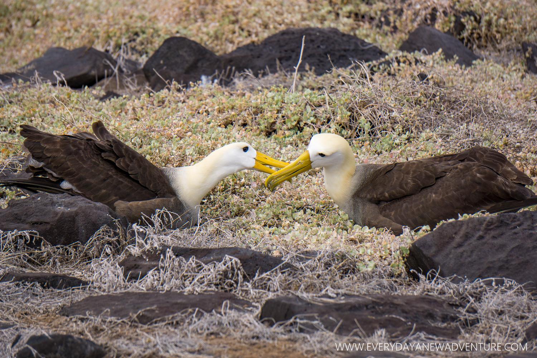 A mating pair of albatross.