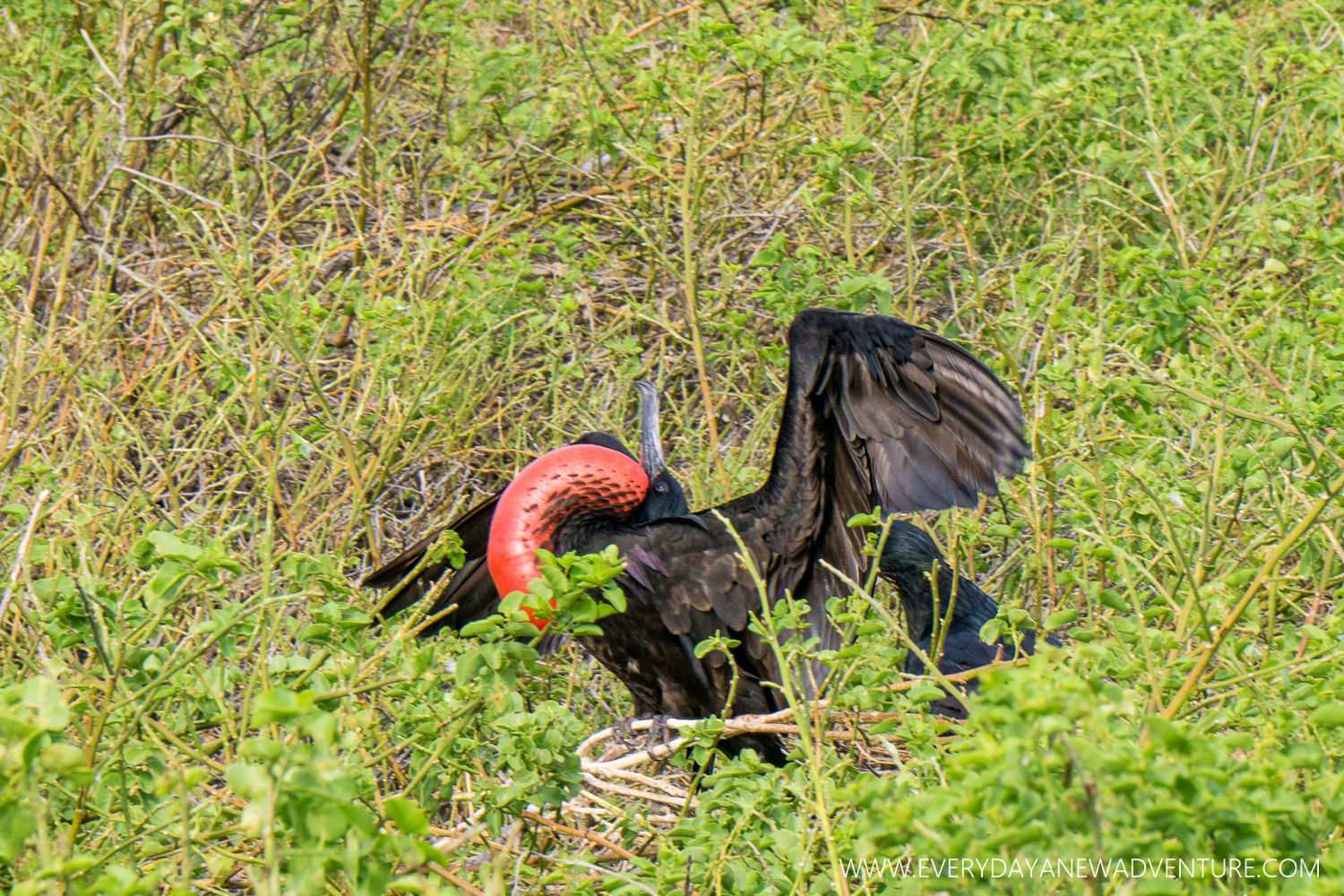 A male frigatebird trying to attract a mate by inflating his red throut pouch. Poor guy was turned down.