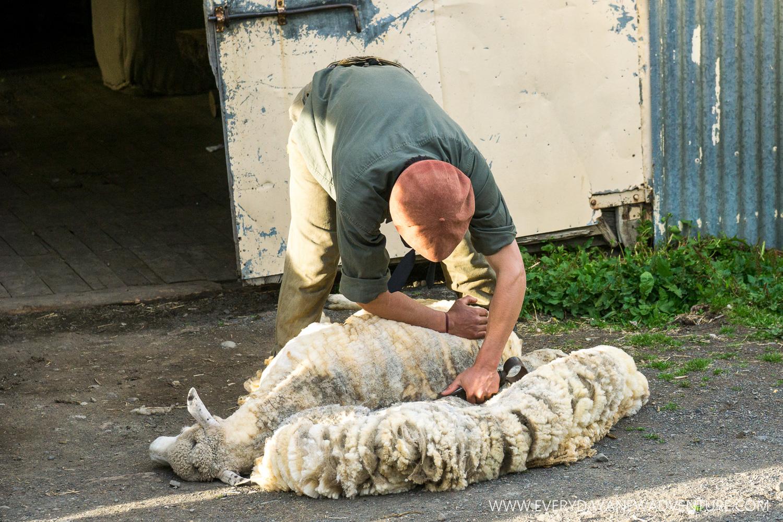 Moncho shearing a sheep.