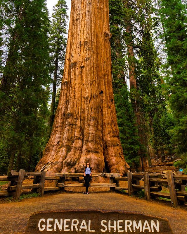 Haaaaad to . . Fun facts: General Sherman is the largest living tree in the world (by volume) totaling a cool 52,500 cubic feet. Roughly 2,200 years old, it weighs 2.7 million pounds, is 275 feet tall and has a 102-foot circumference at the ground and has branches that are almost 7 feet in diameter. . . Summary: BIG 'OL TREE