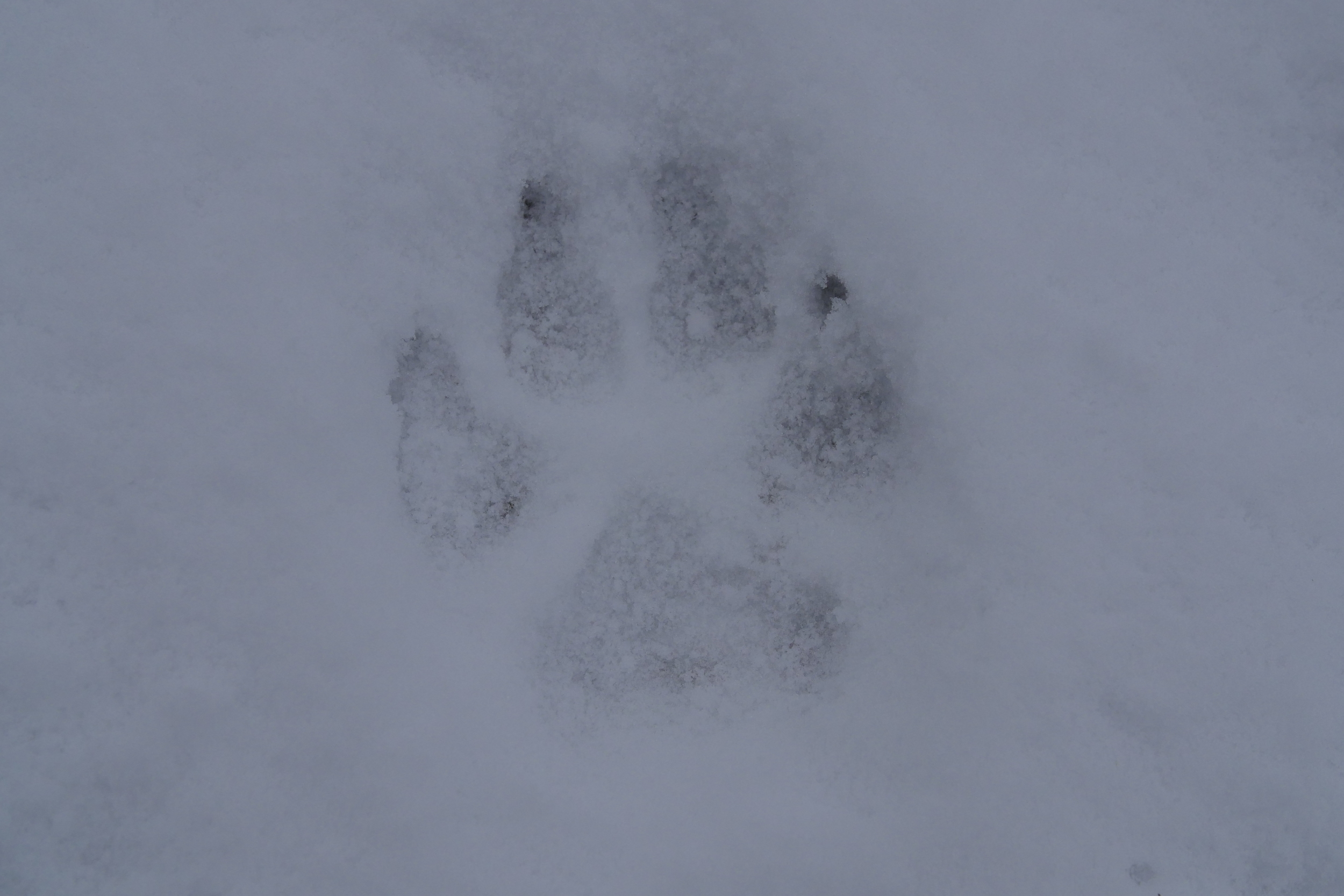 The paw print of a wolf in the South Selkirk