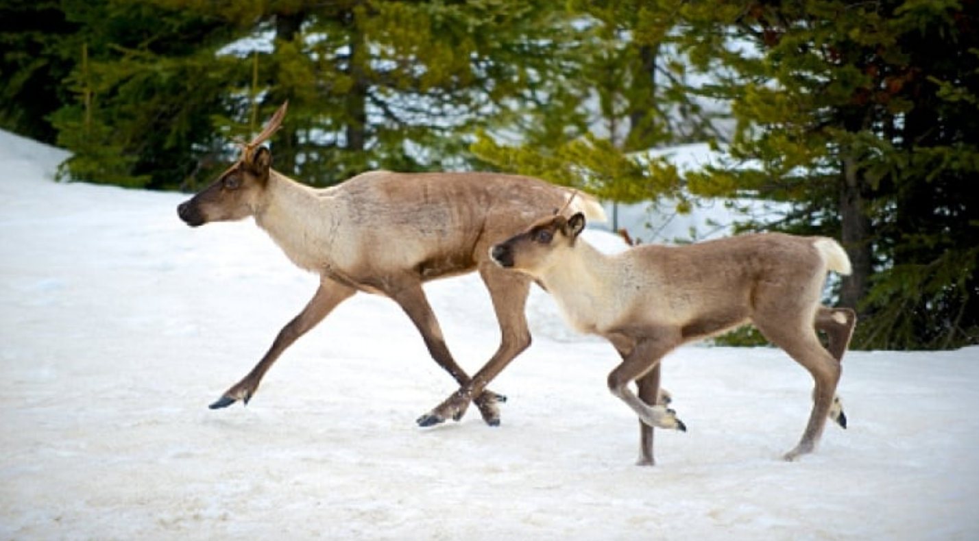 Numbers of caribou in B.C. are in decline — with just six remaining in the two most southerly herds. (Getty Images)