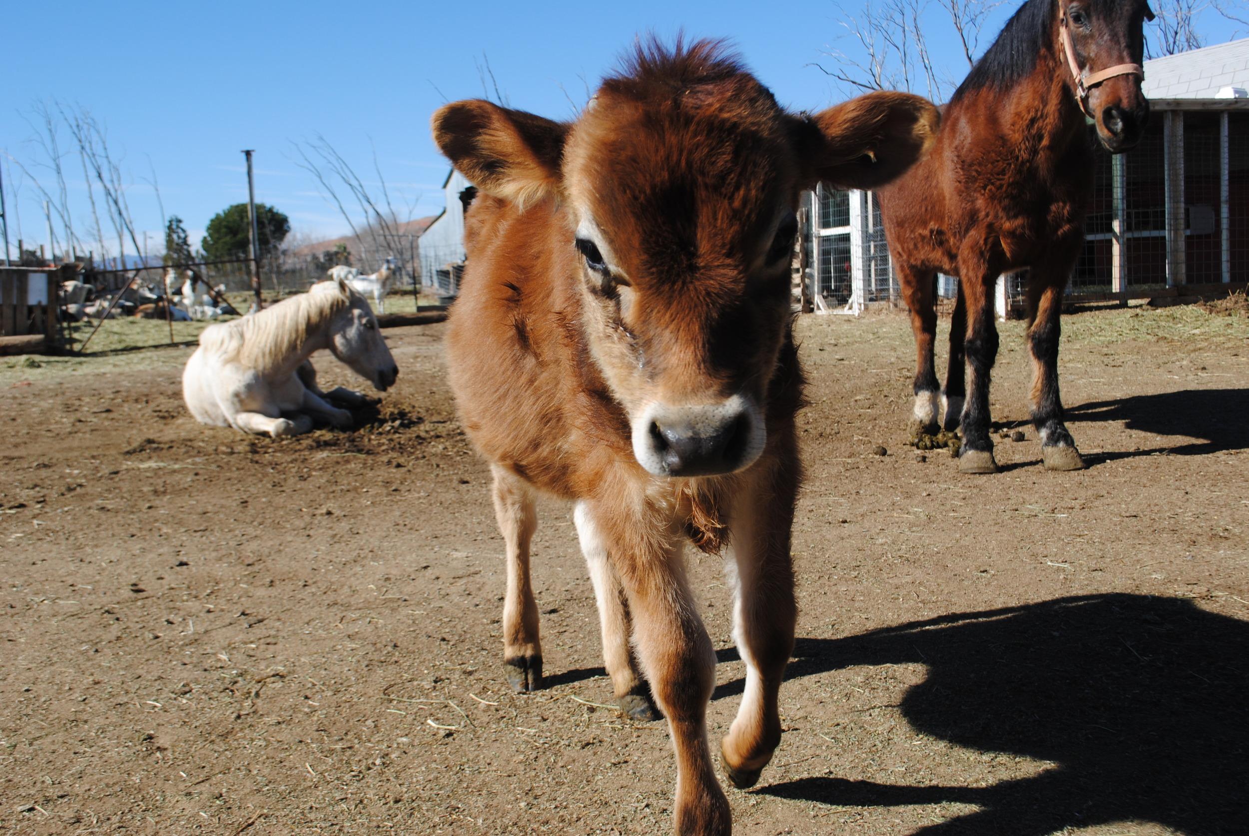 Don, the calf