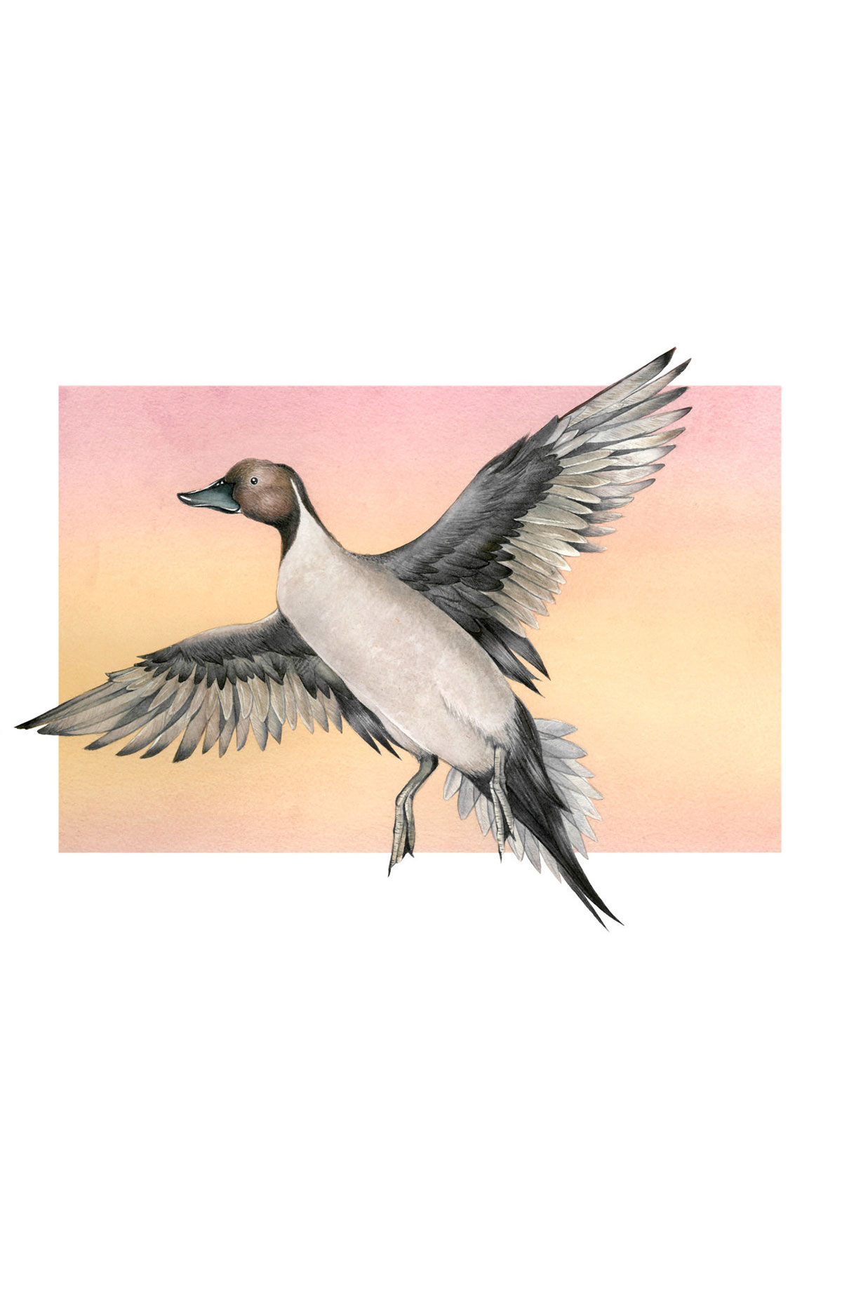 NORTHERN-PINTAIL_WEB.jpg