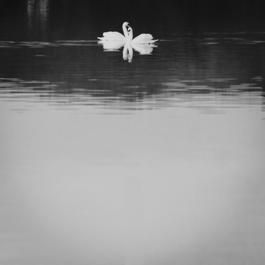 Winter Swans.   they halved themselves in the dark water,  icebergs of white feather, paused before returning again  like boats righting in rough weather.
