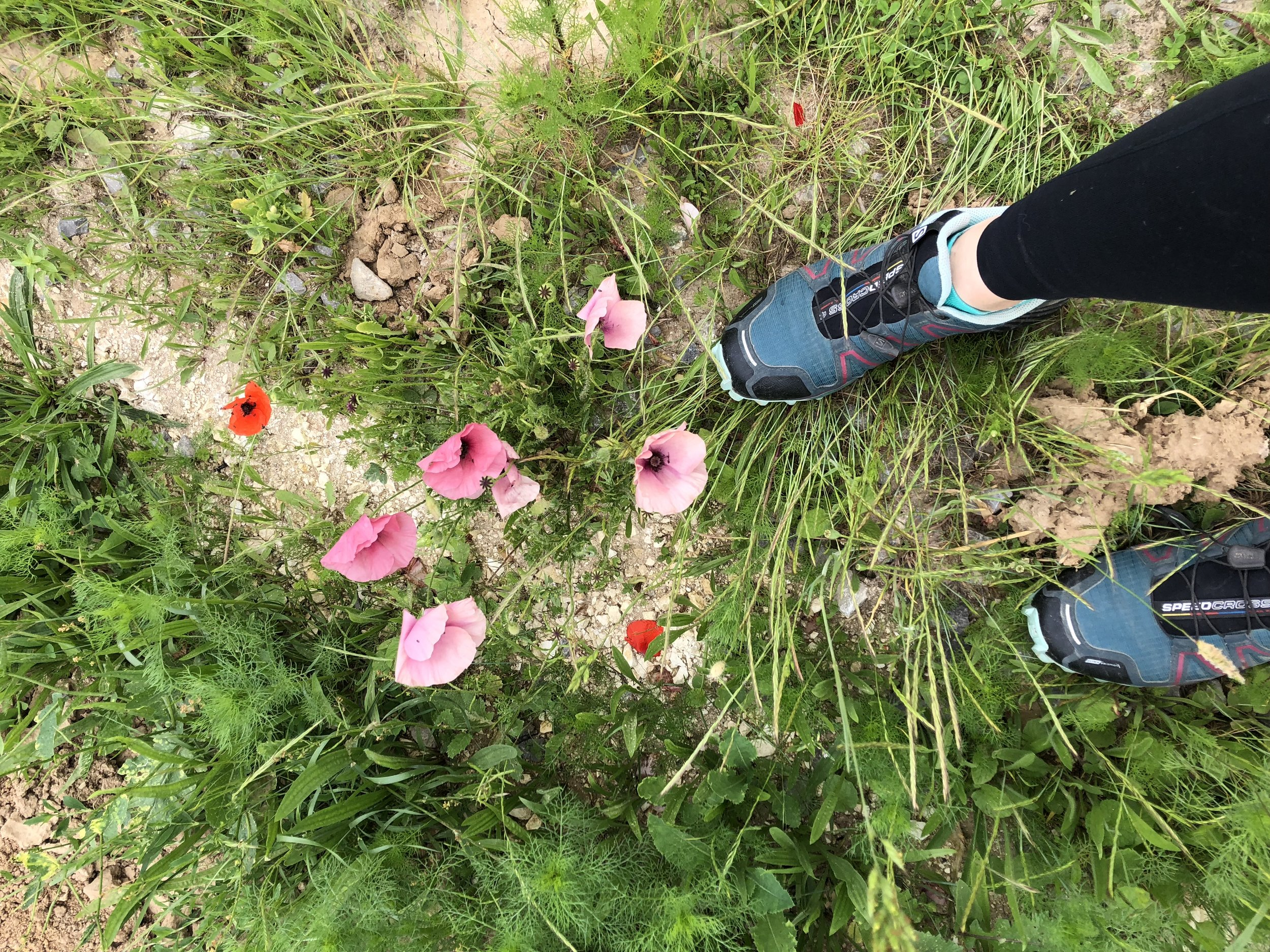 Never before seen pink poppies