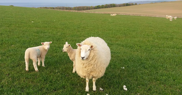 Scott McCreath says one of the joys of tupping with a Southdown is lambing ease