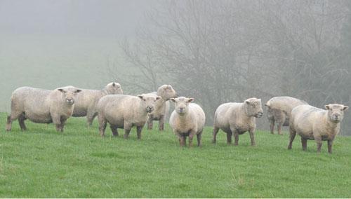 Max Welton's Gilfach flock.