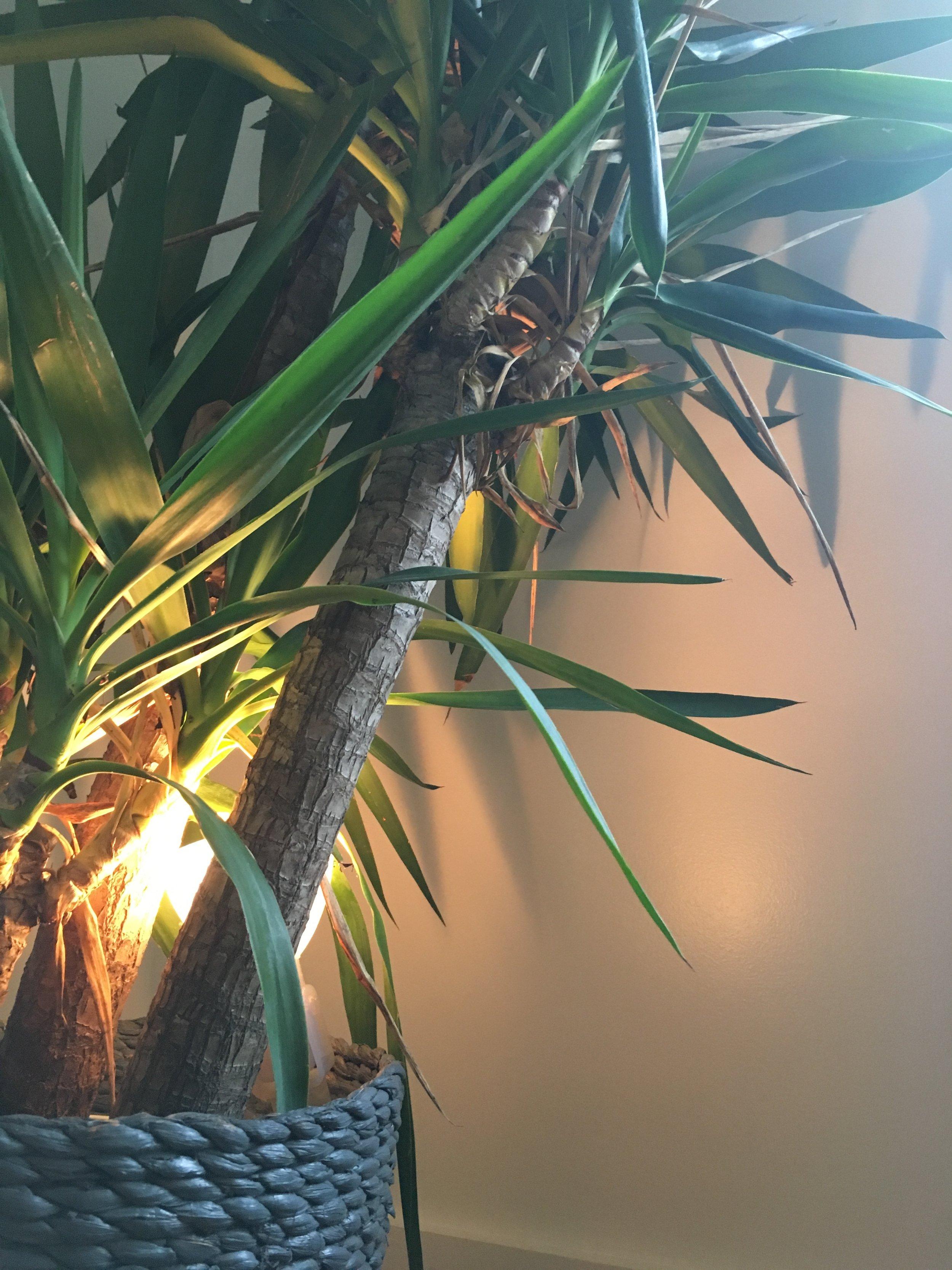 Plant-design_Yucca-Elephantipes_up-light