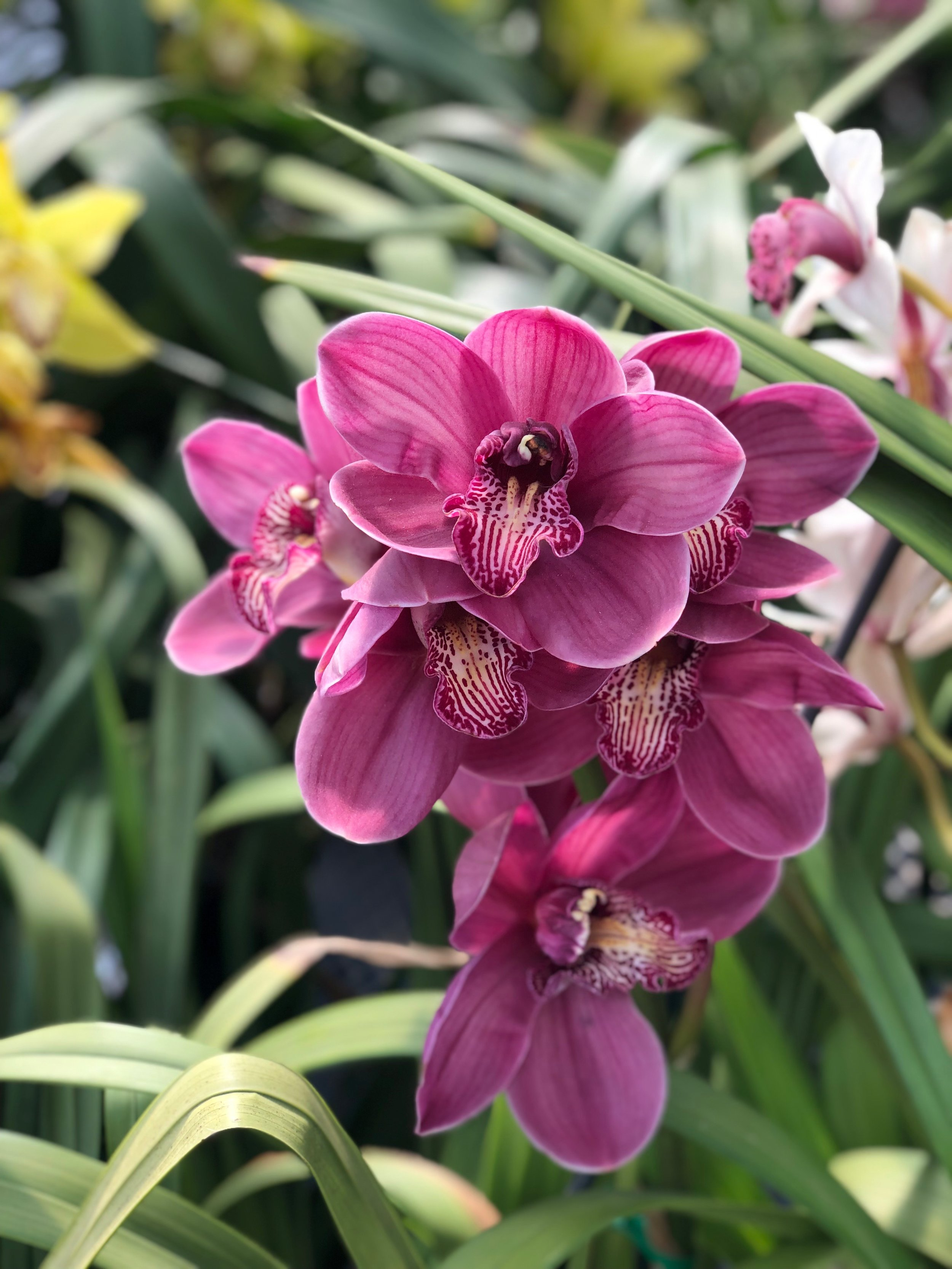 Cymbidium Orchid Greenhouse - Swing by the Cymbidium Orchid Greenhouse to peruse aisles upon aisles of statuesque orchids.