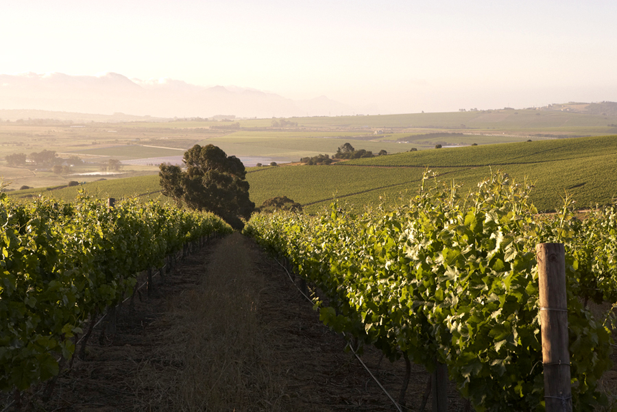Bosch vineyard.jpg