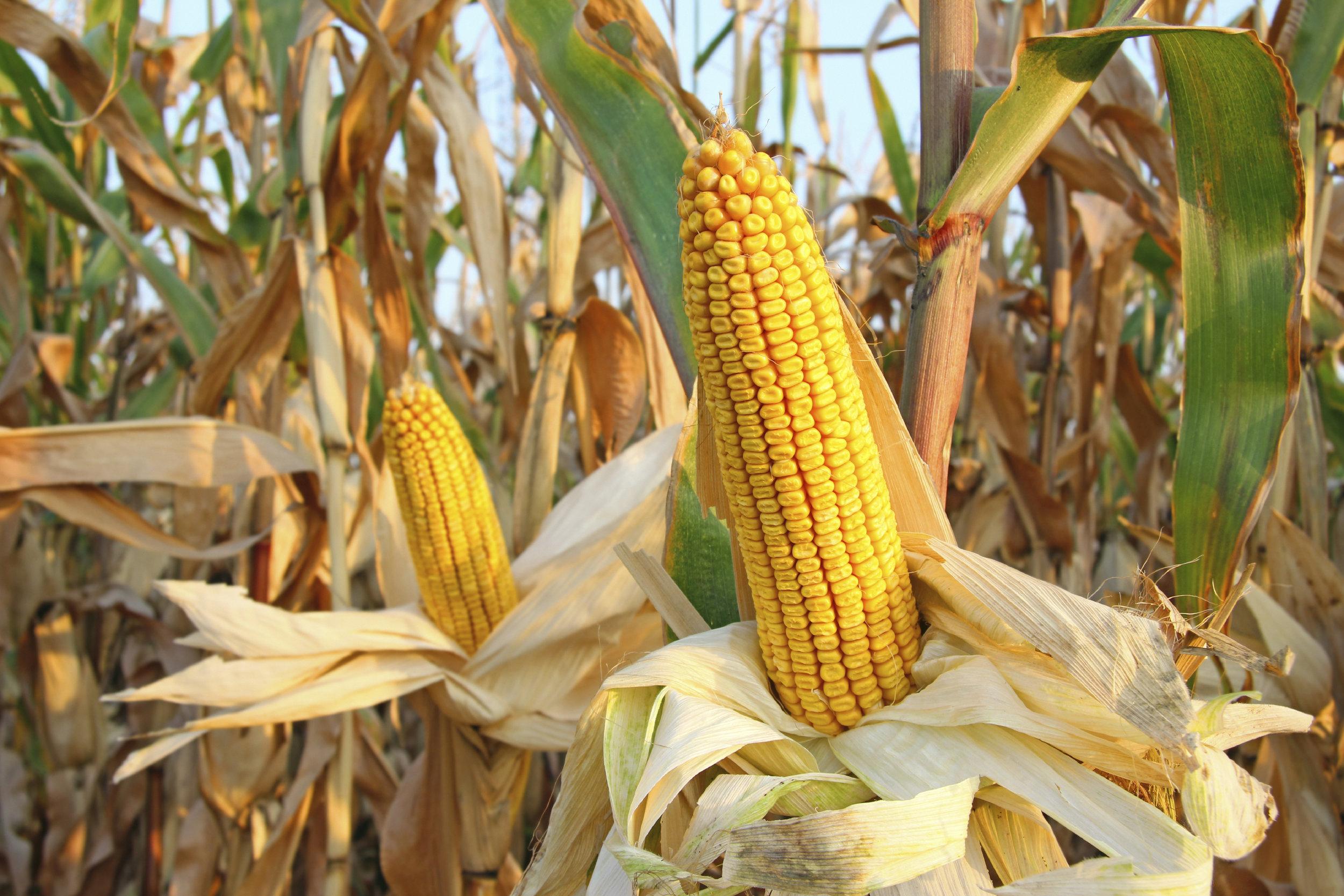 corn-futures.jpg
